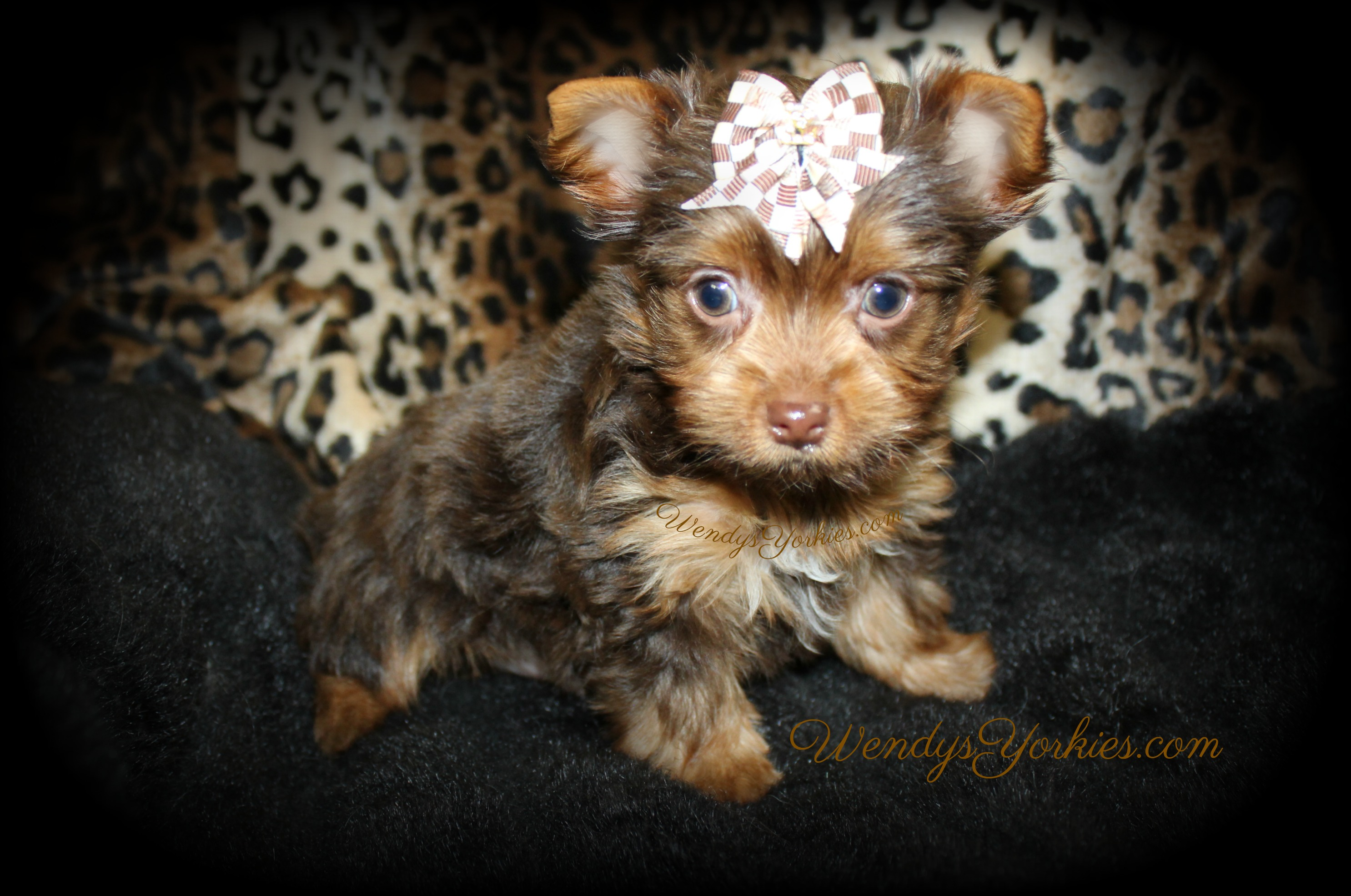 Tiny Chocolate Yorkie puppy for sale in Texas, Dixie cm1, WendysYorkies.com