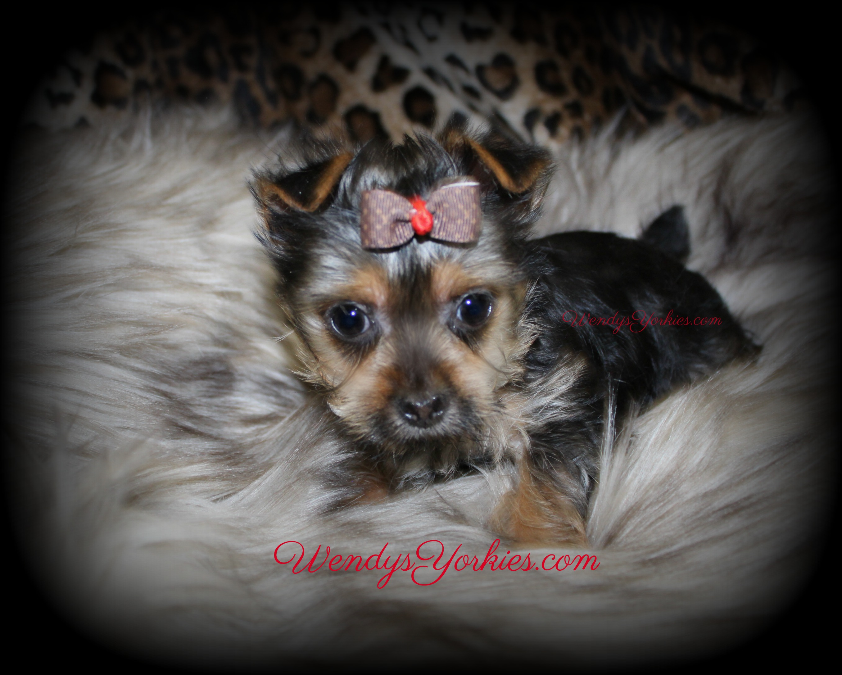 Tiny Male Yorkie puppy for sale in Texas, Dixie m3, WendysYorkies.com