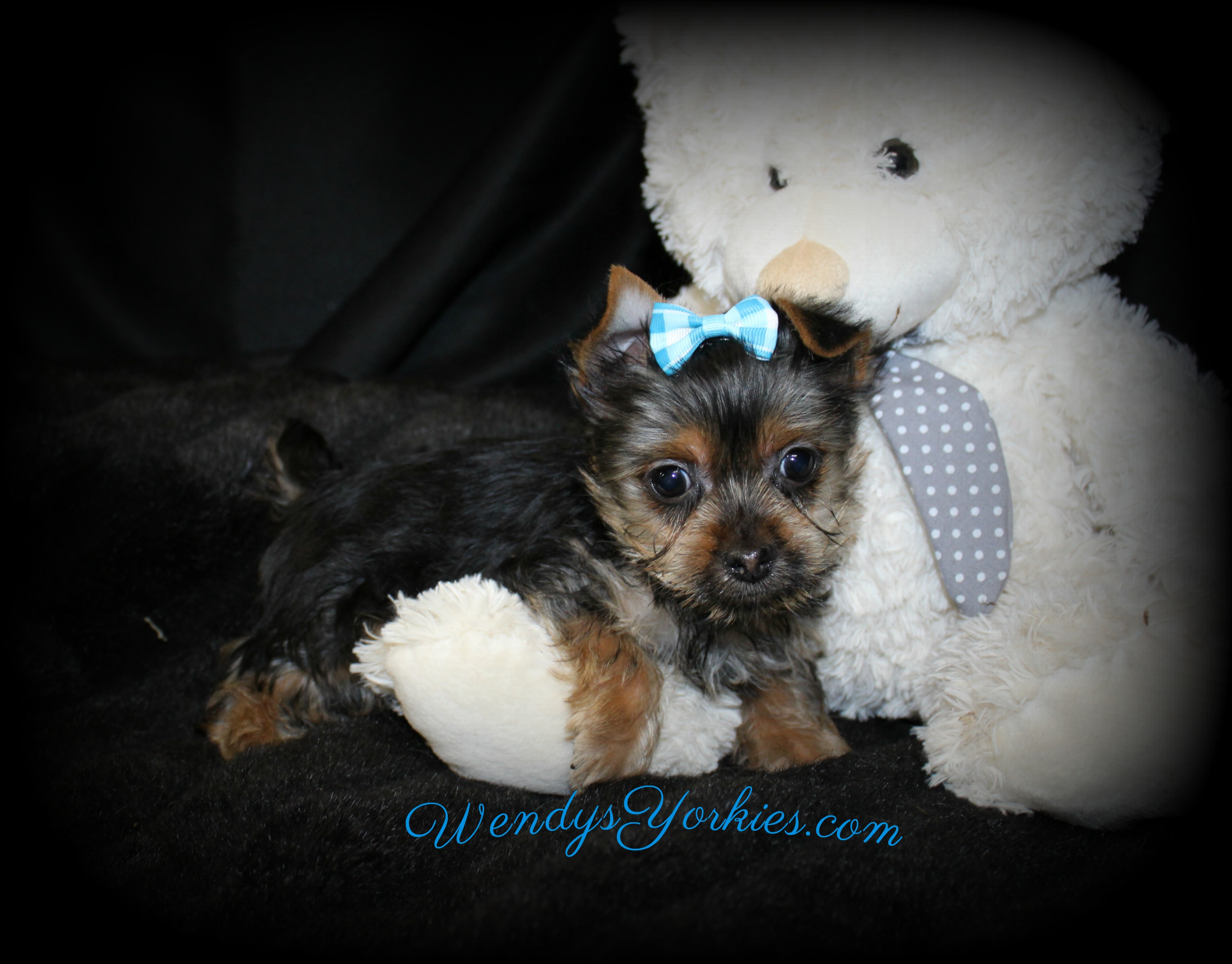 Tiny Teacup Male Yorkie puppy for sale, Dixie m3, WendysYorkies.com