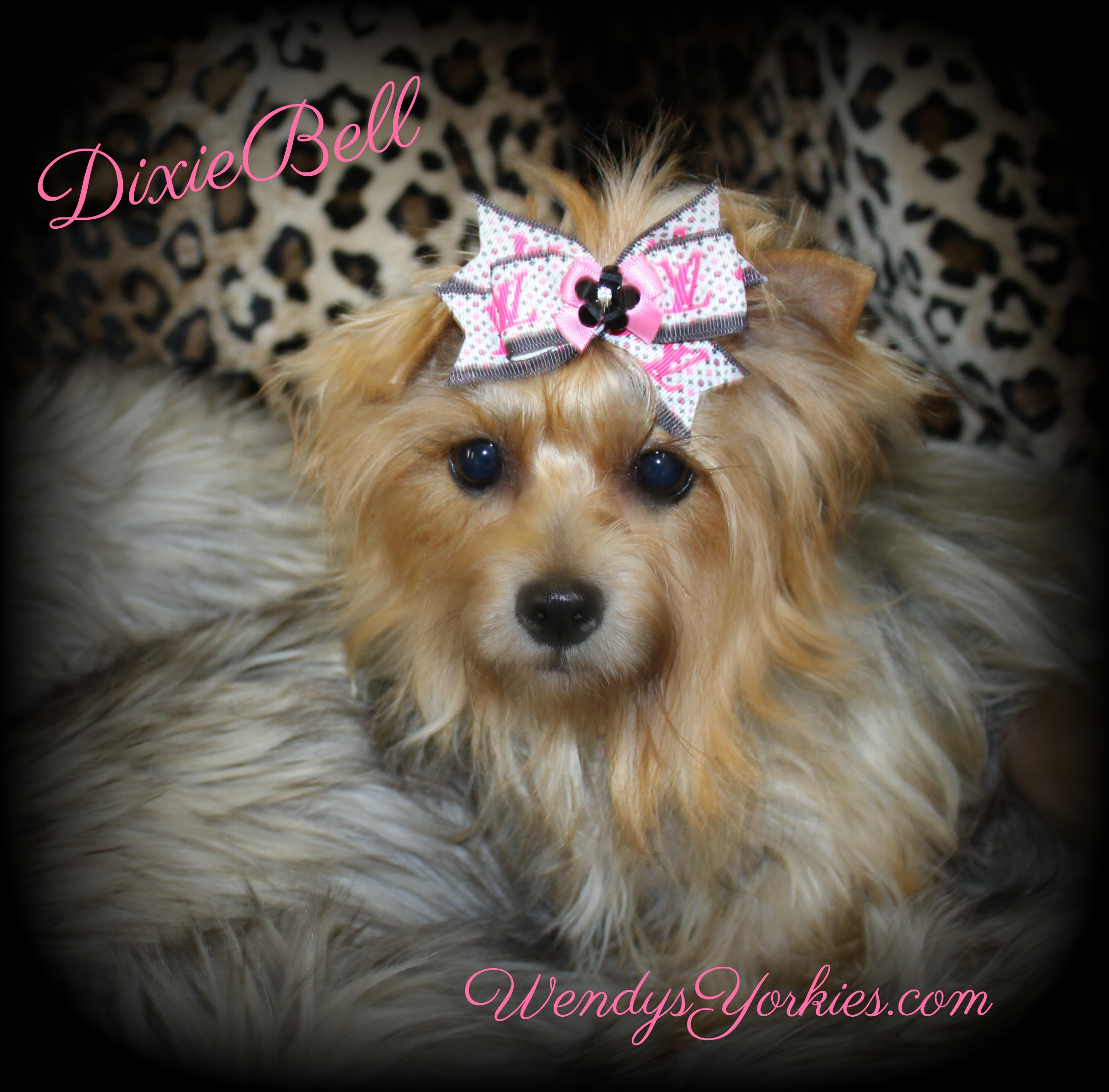 Yorkie puppy Breeder in Texas, Dixie Bell, WendysYorkies.com