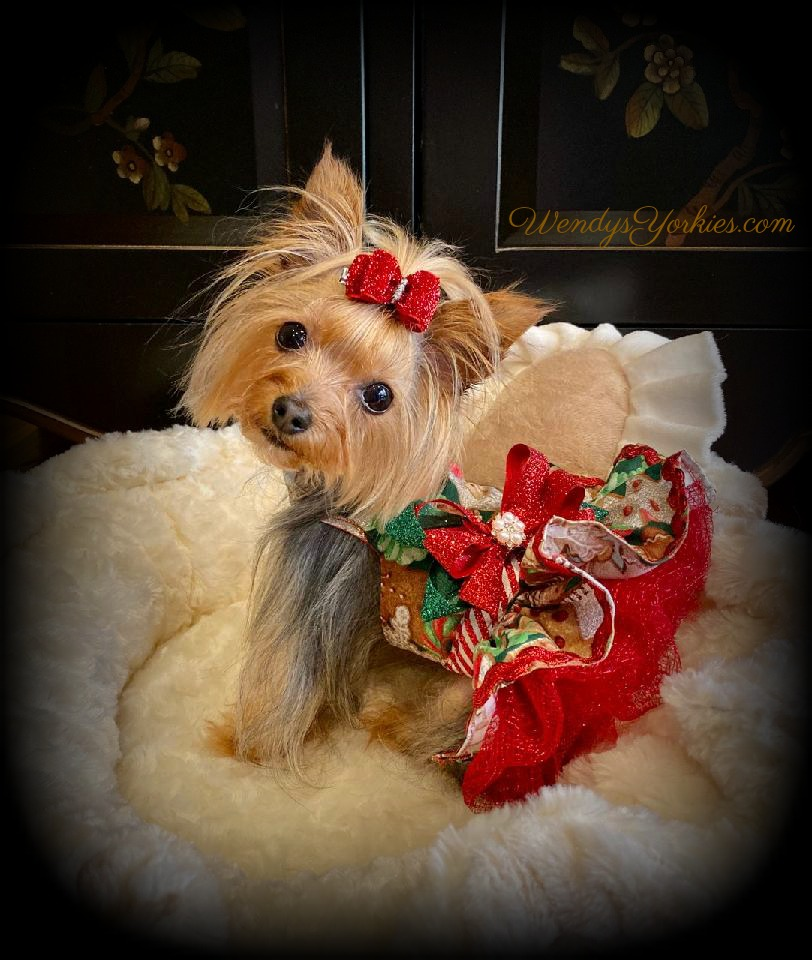 Coco's Closet, Dog Christmas Dress, WendysYorkies.com