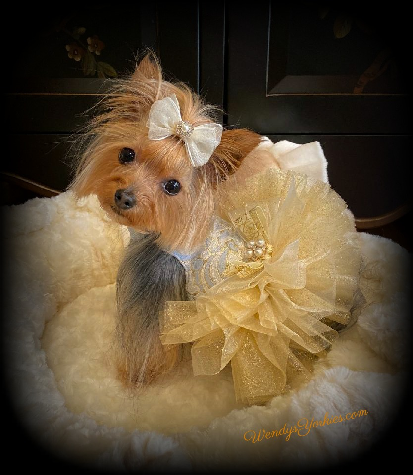 Coco's Closet, WendysYorkies.com, Blue and Gold Dog dress