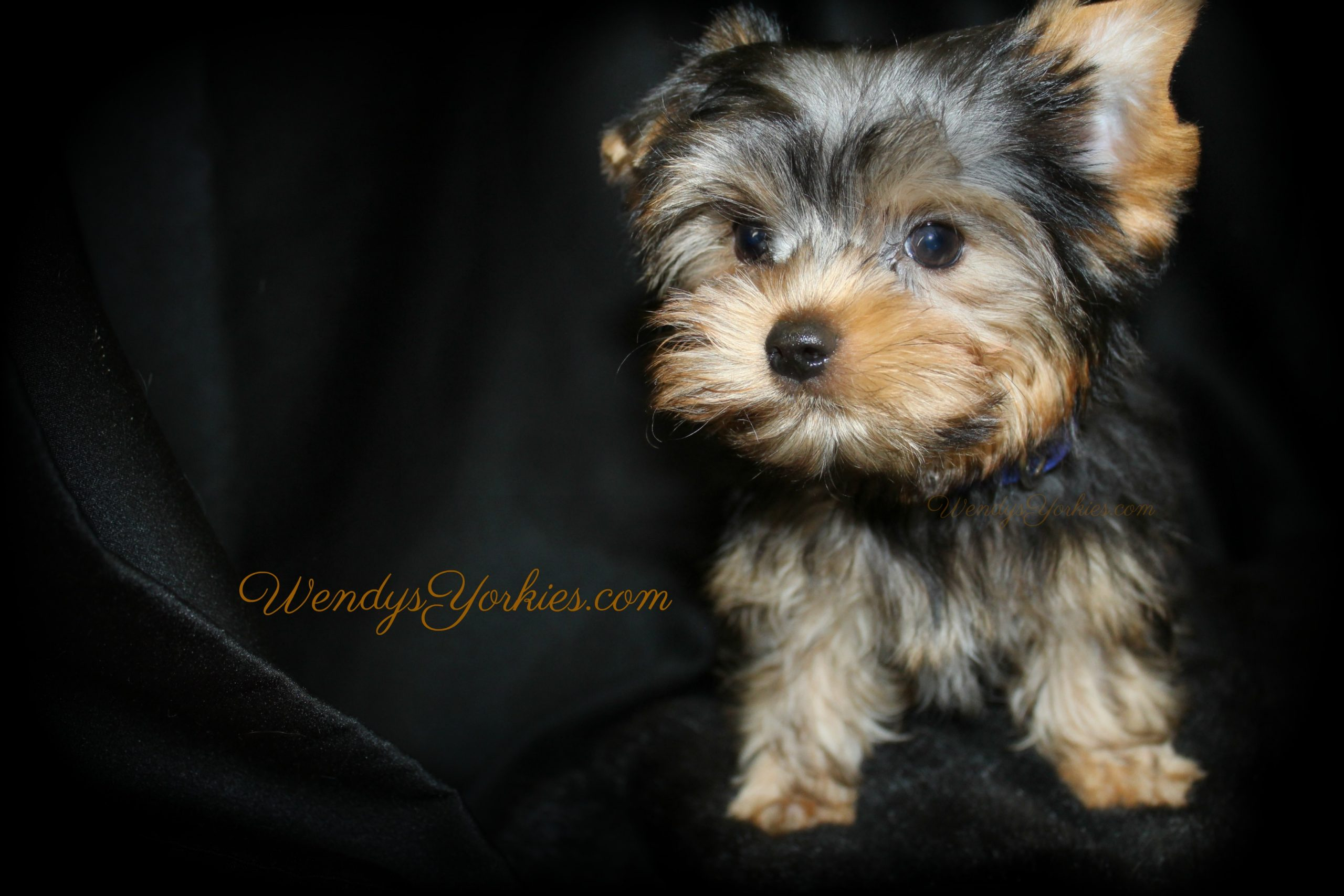 Cute Yorkie puppy for sale, Ritz, WendysYorkies.com