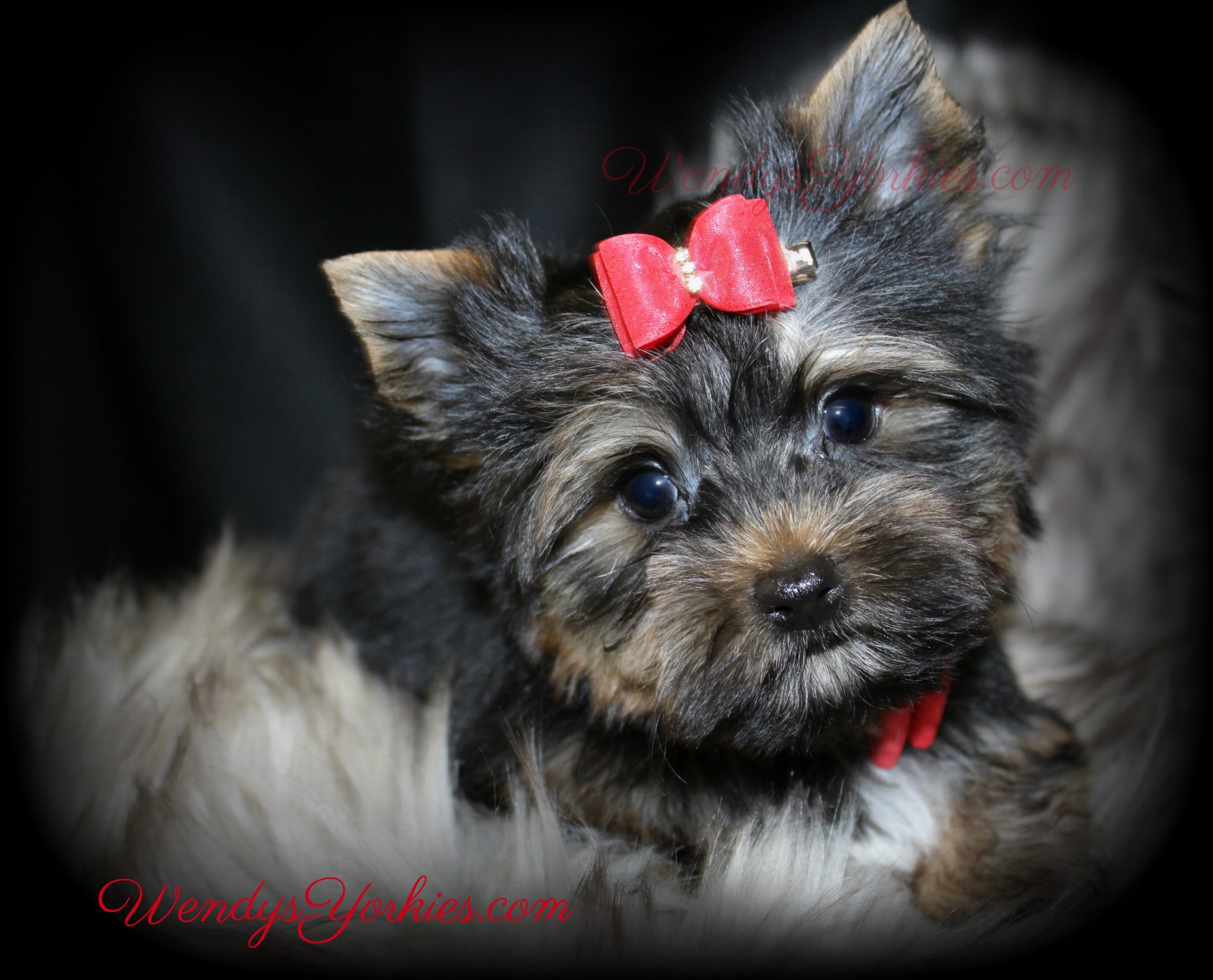 Cutest Yorkie head tilt, Jack,WendysYorkies.com