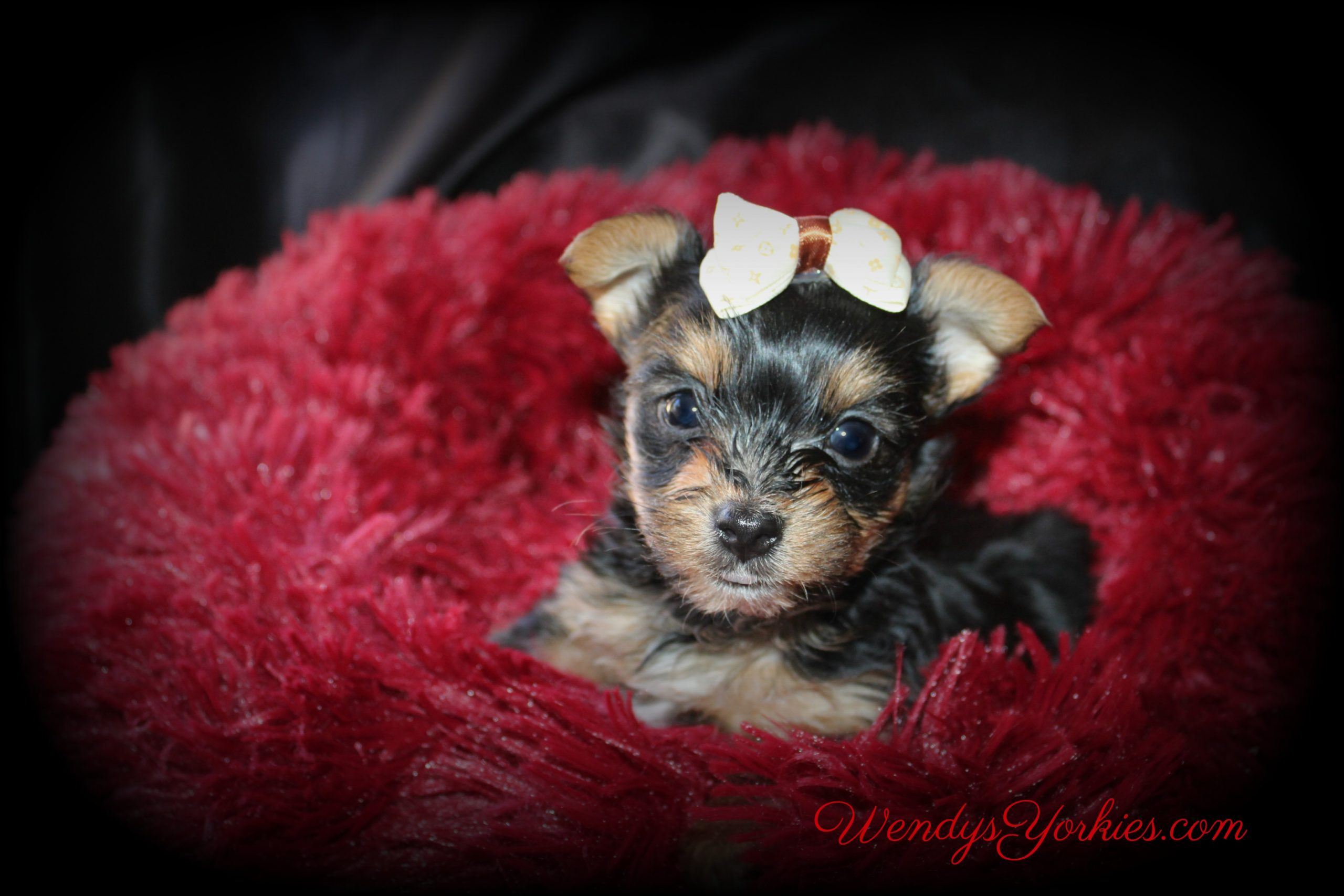 Male Yorkie puppies for sale, WendysYorkies.com, Anna m1