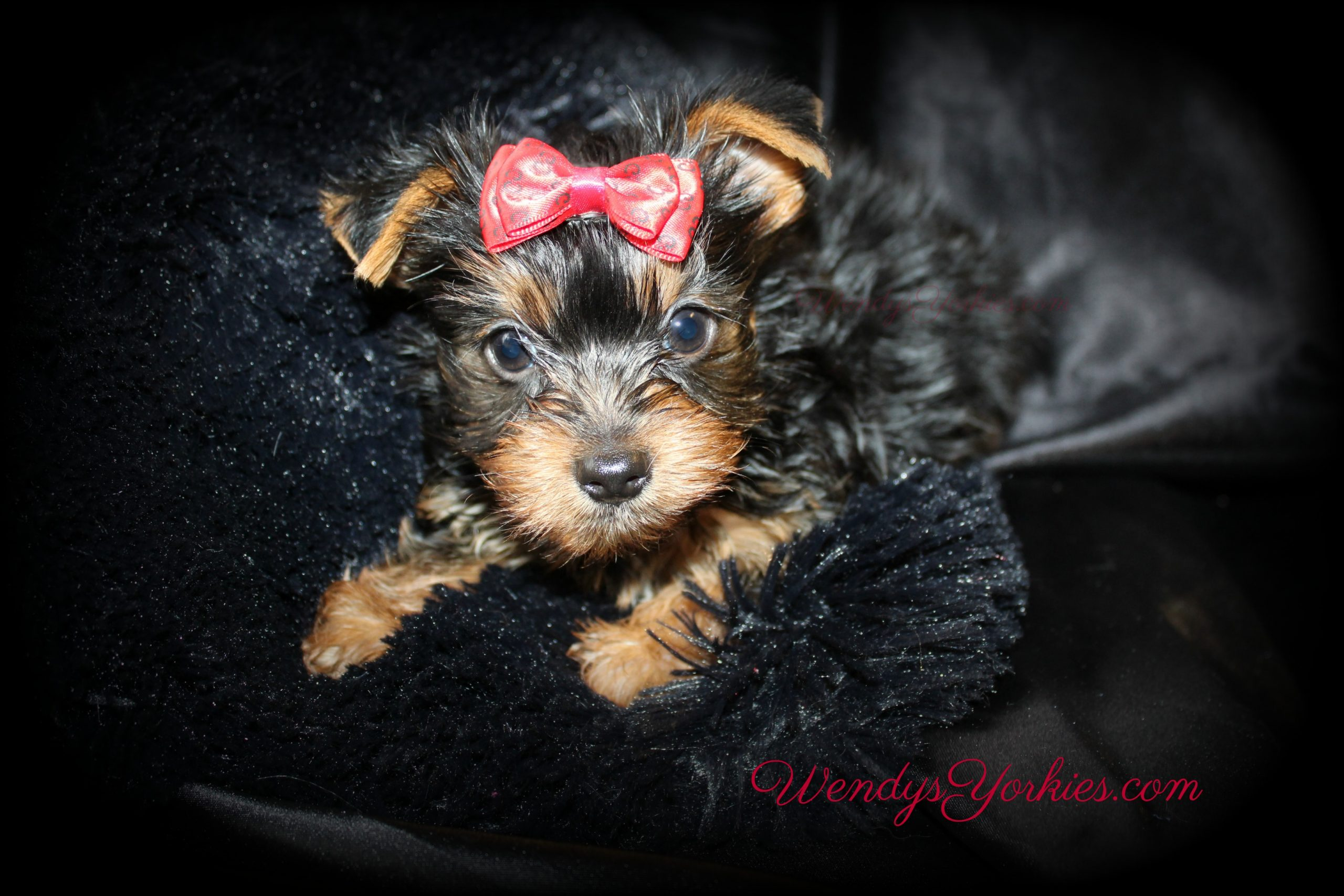 Male Yorkie puppy for sale, Anna m1, WendysYorkies.com