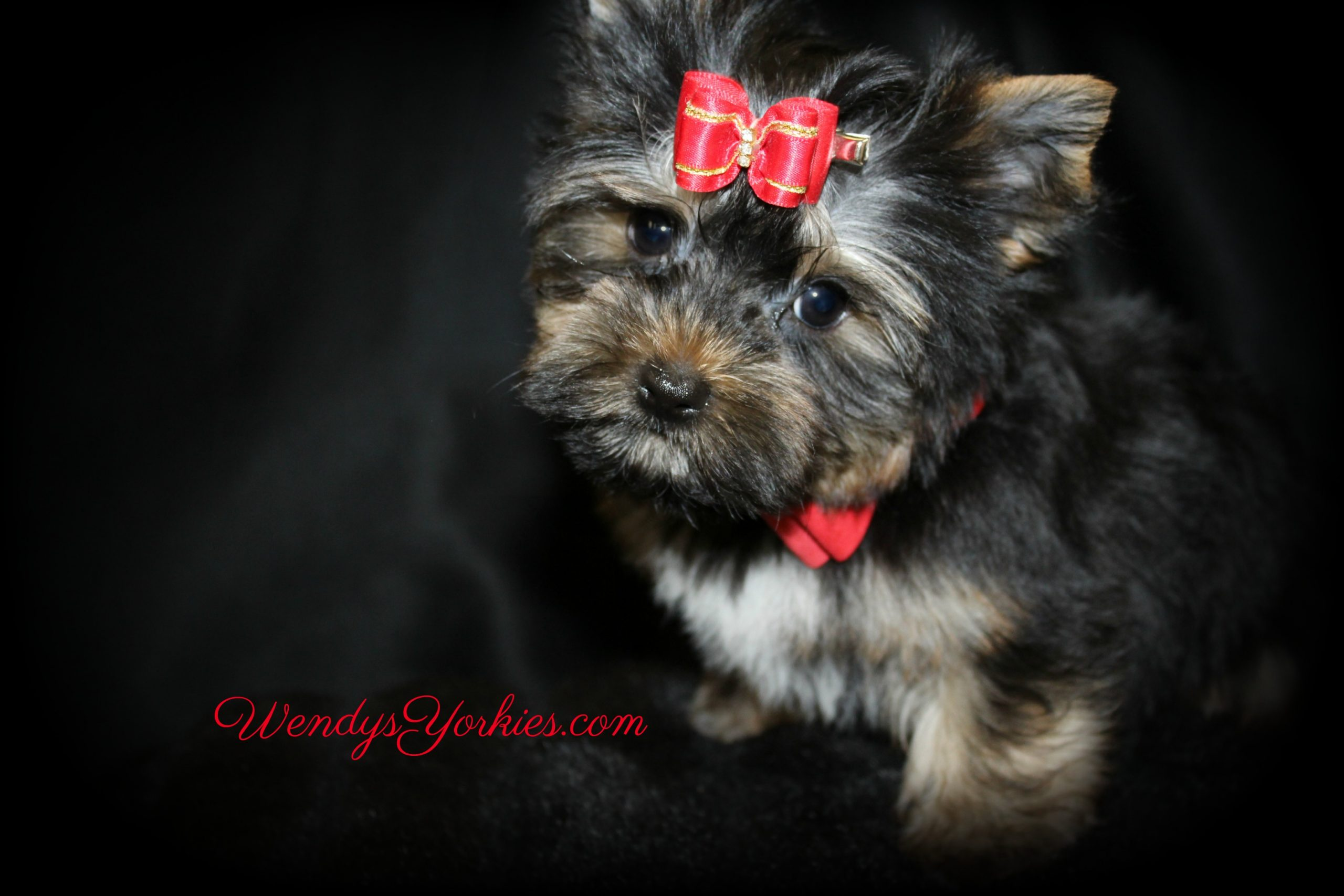 Male Yorkie puppy for sale, Jack, WendysYorkies.com