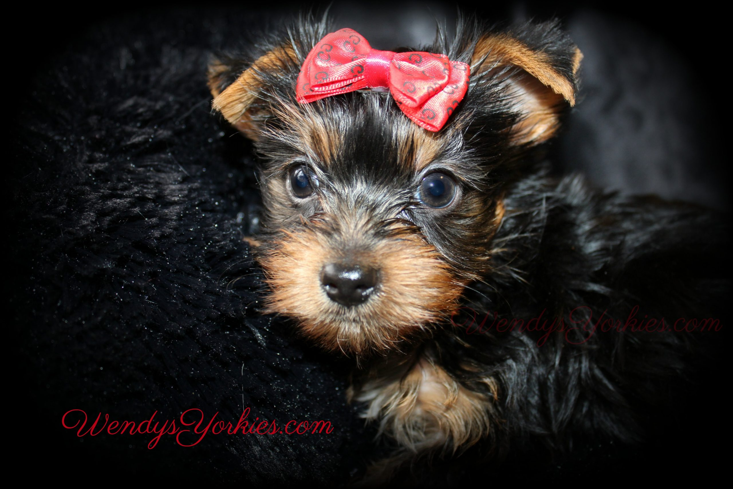 Male Yorkie puppy for sale in Texas, Anna m1, WendysYorkies.com