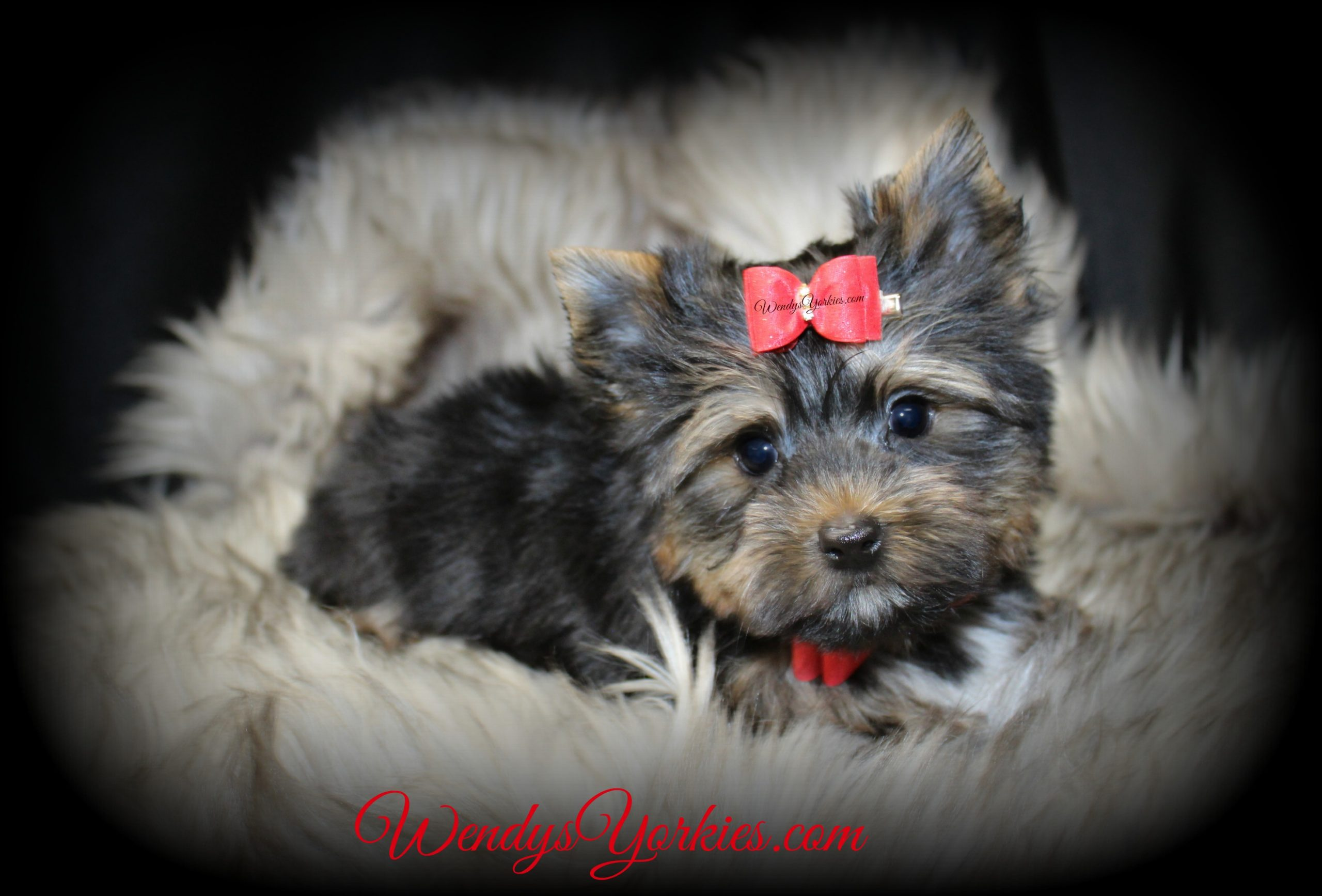 Male Yorkie puppy for sale, m3, WendysYorkies.com