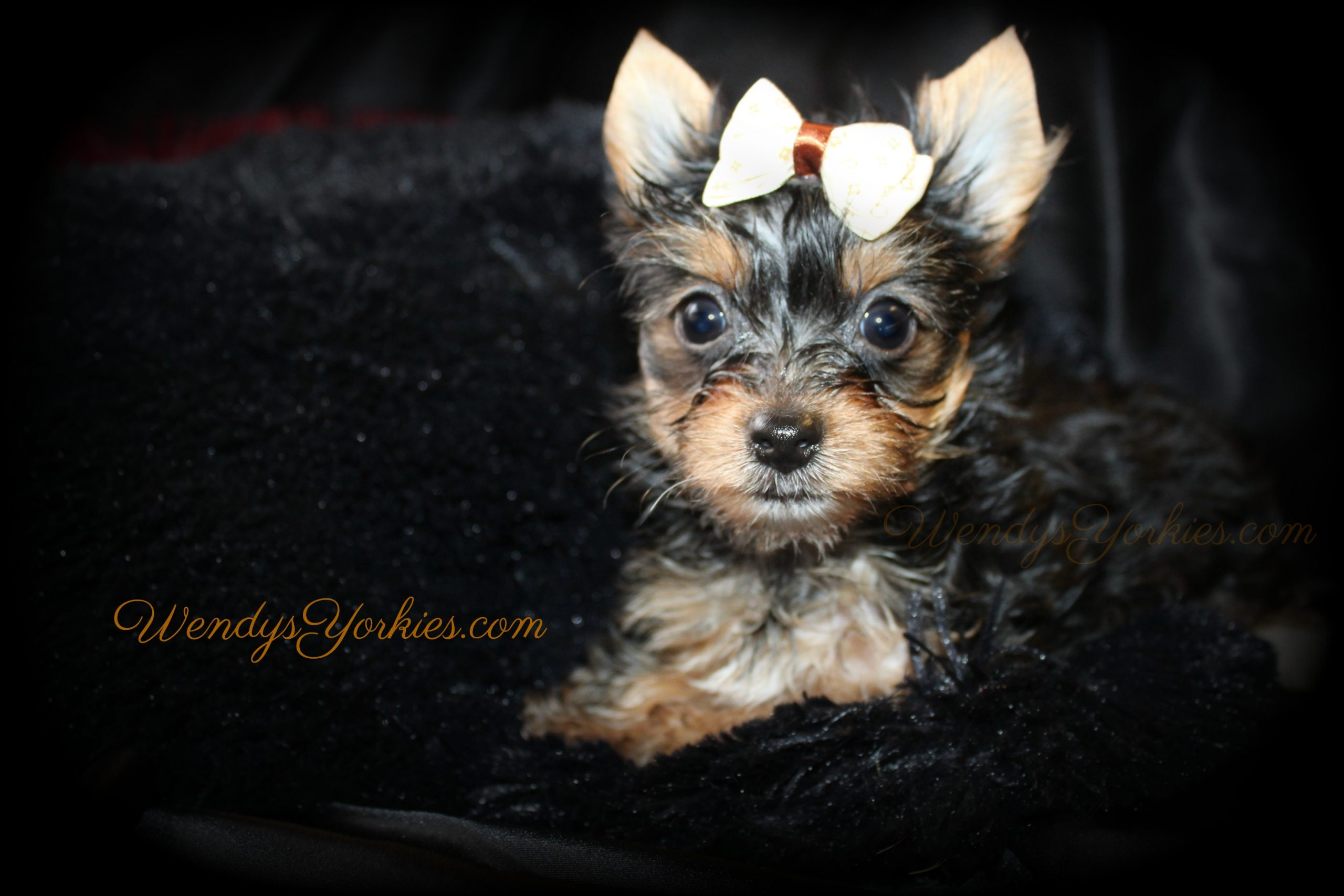 TEacup Male yOrkie puppy for sale, Anna m2, WendysYorkies.com