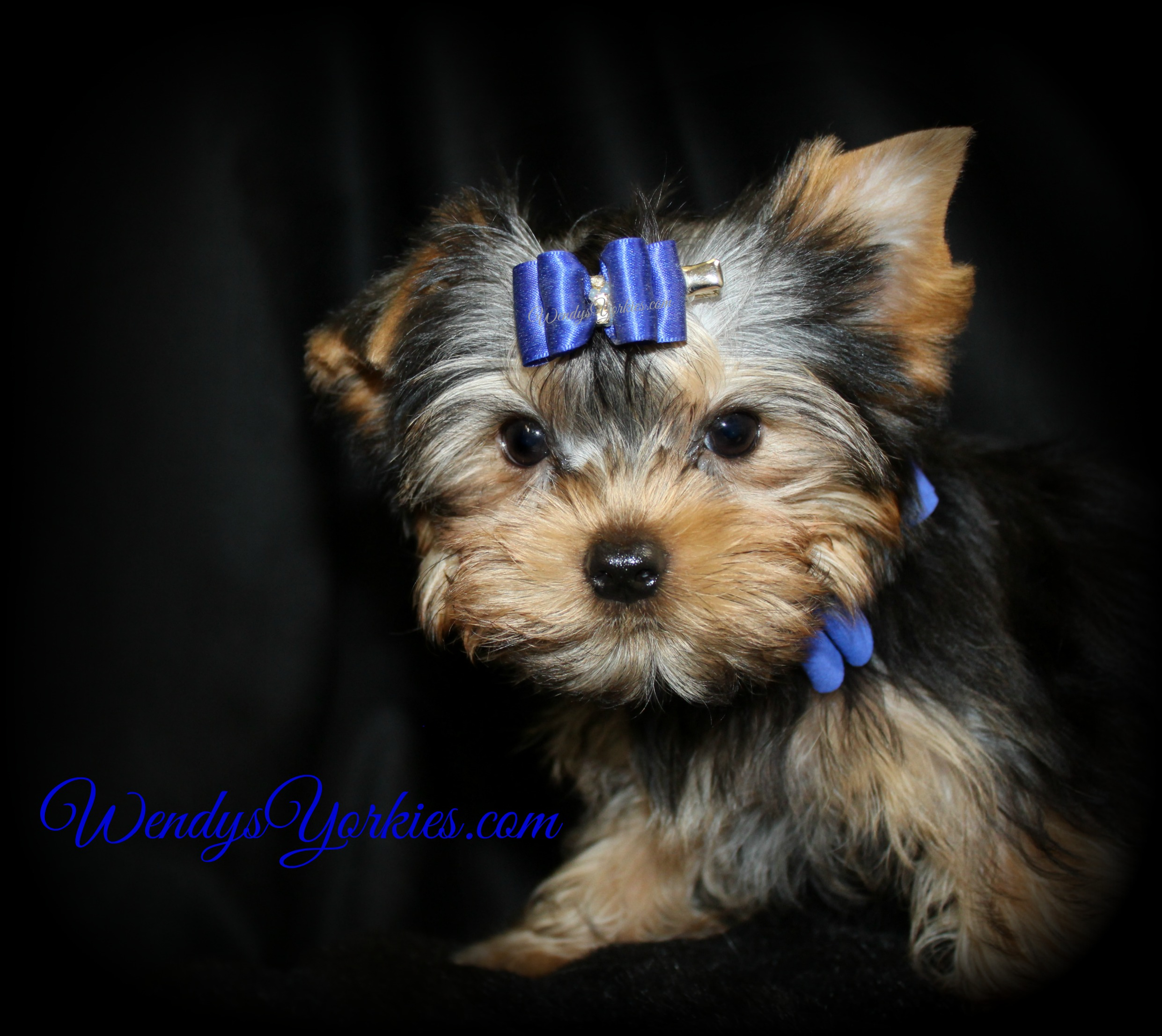 Teacup Male YOrkie puppy for sale in Texas, m1,WendysYorkies.com