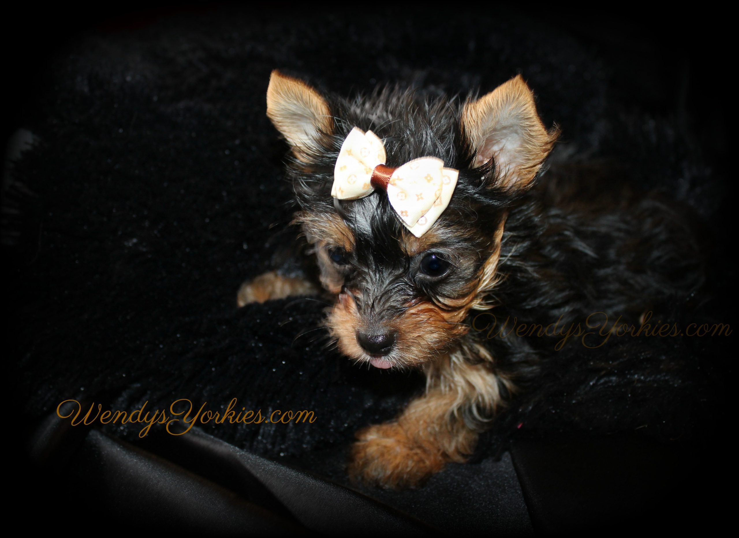 Teacup Male Yorkie puppies for sale in Texas, Anna m2, WendysYorkies.com
