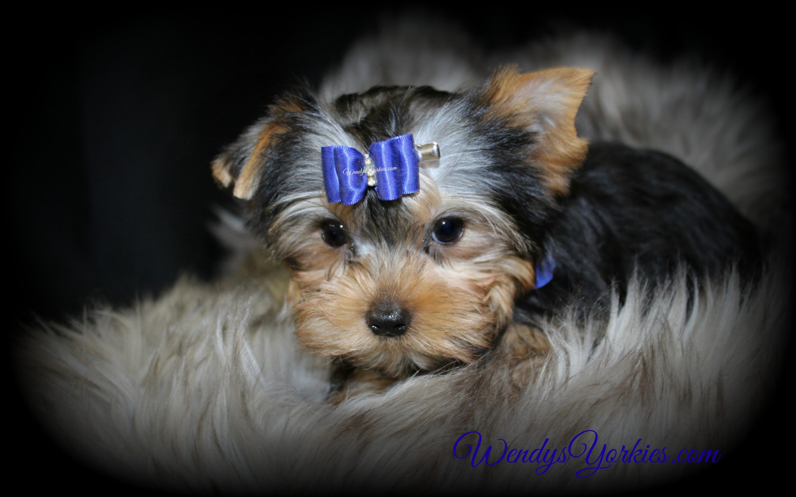 Teacup Male Yorkie puppy for sale, M1, WendysYorkies.com