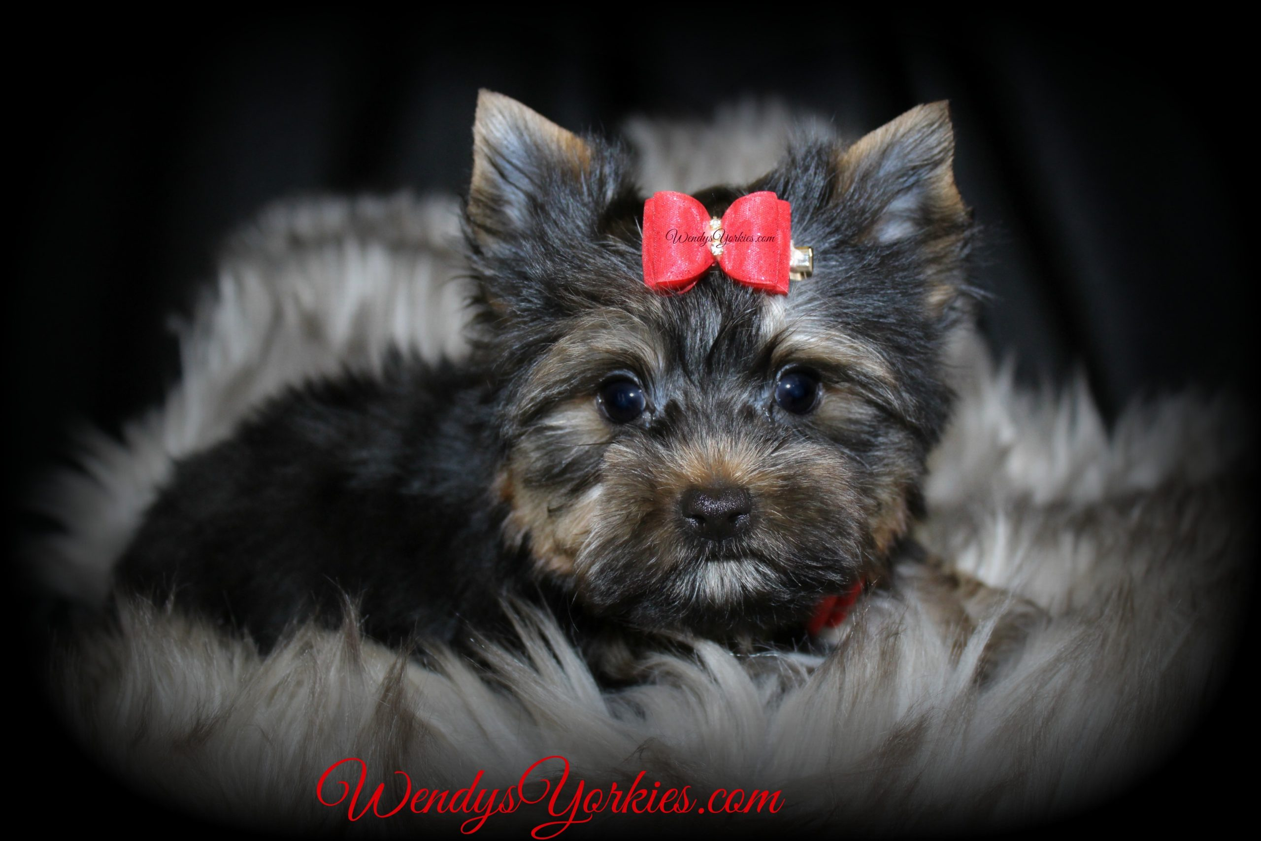 Teacup Male Yorkie puppy for sale, m3,WendysYorkies.com