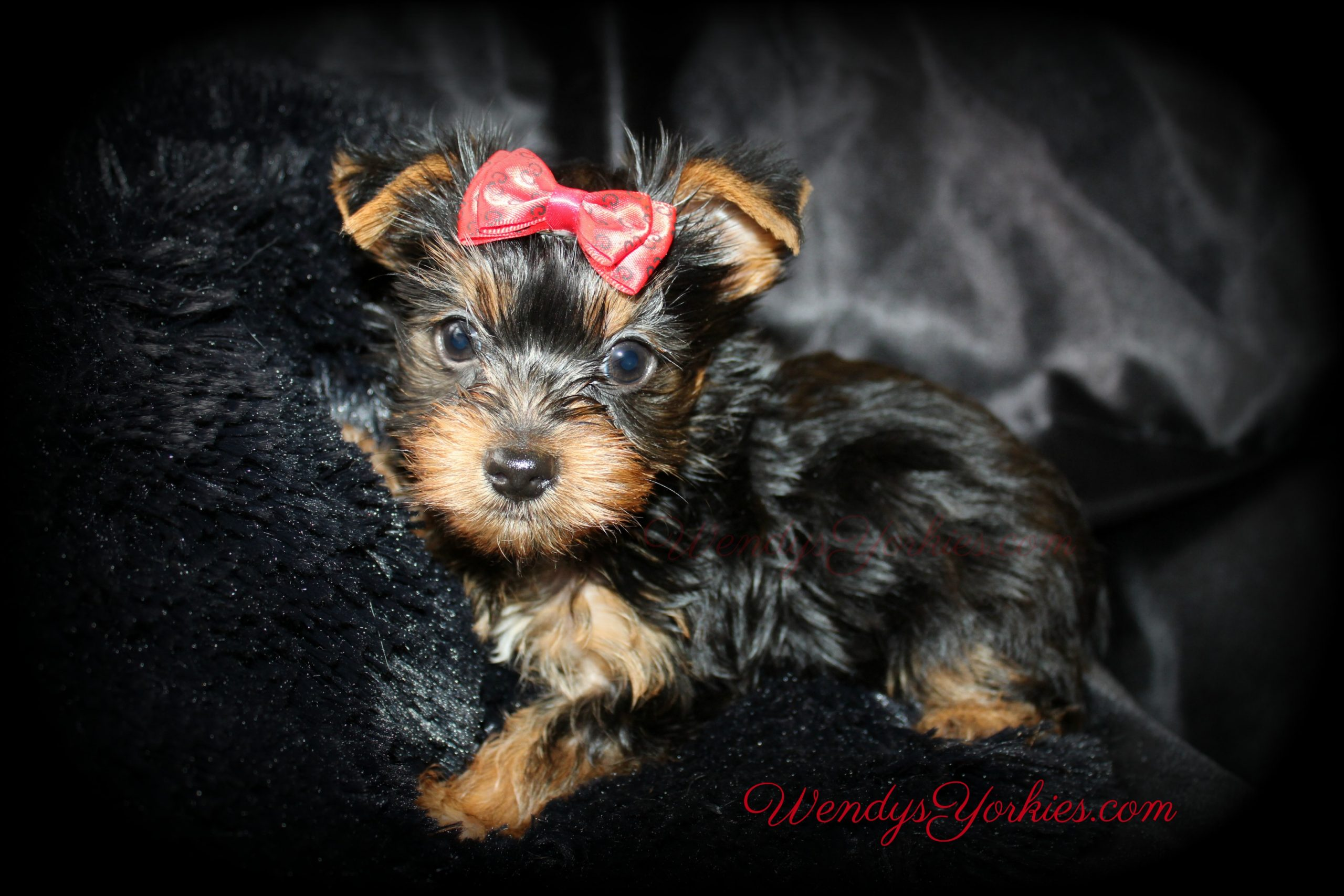 Teacup Male yorkie puppies for sale, Anna m1, WendysYorkies.com