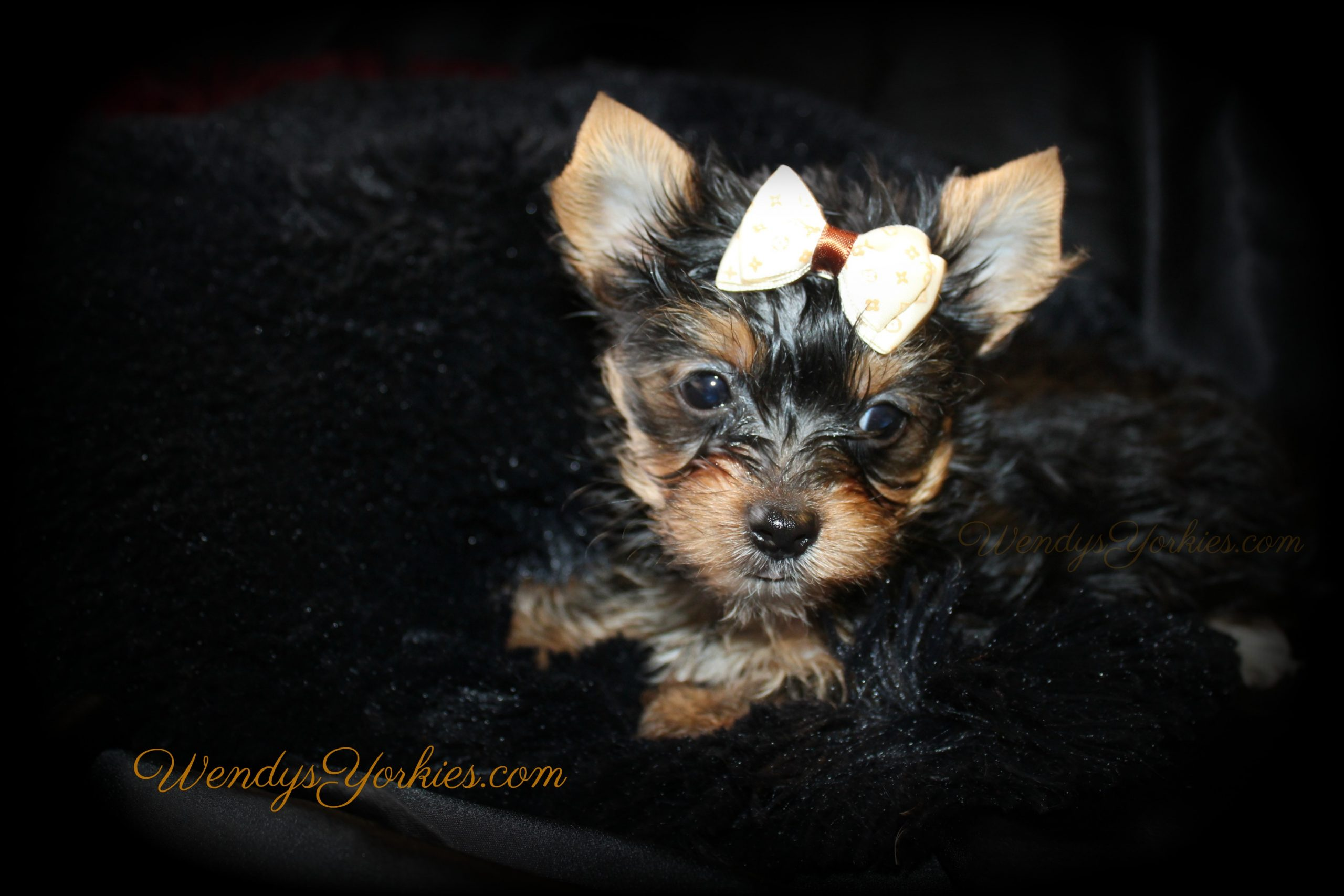 Teacup Yorkie puppy for sale in Texas, Anna m2, WendysYorkies.com