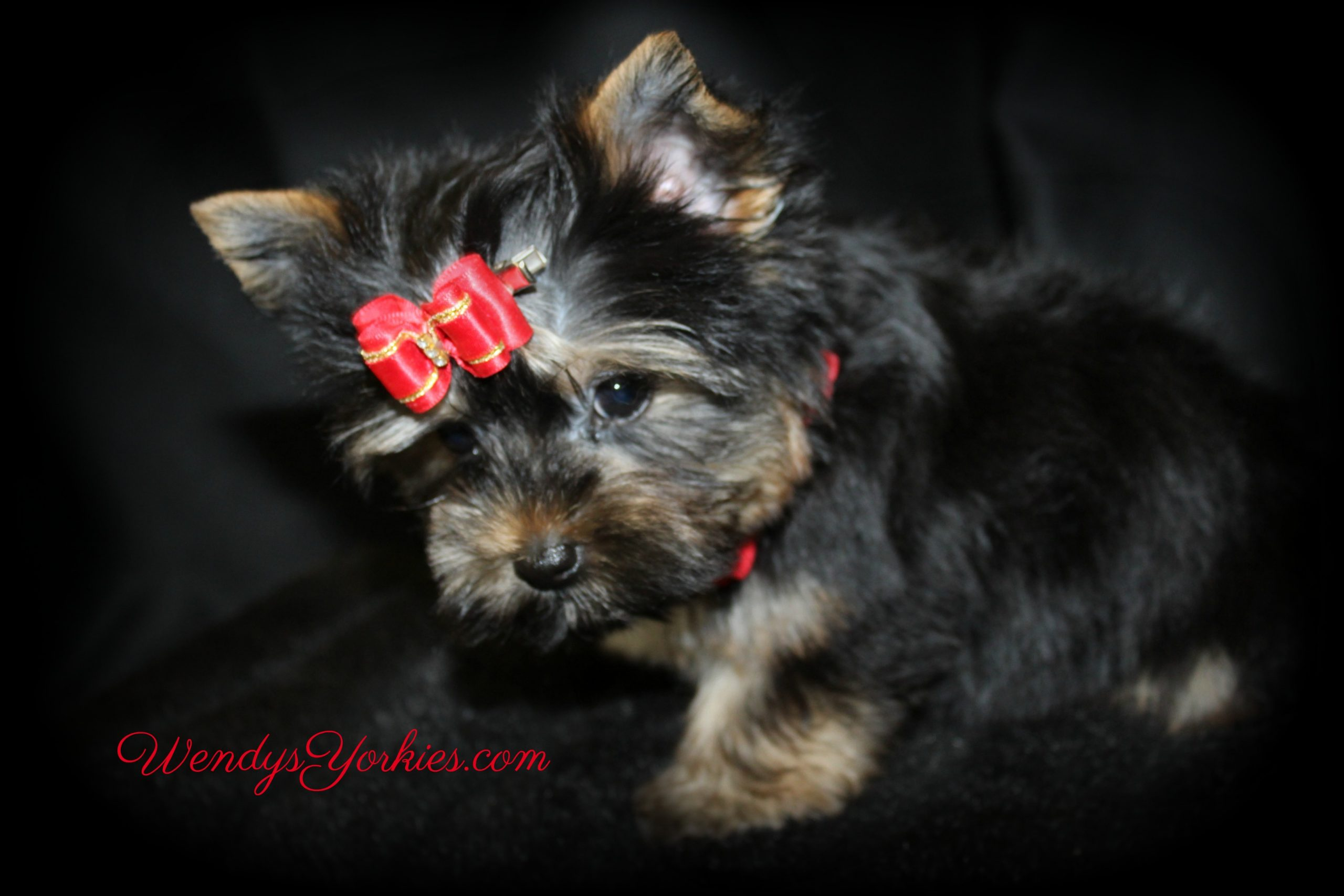 Teacup Yorkie puppy fro sale, Jack, WendysYorkies.com