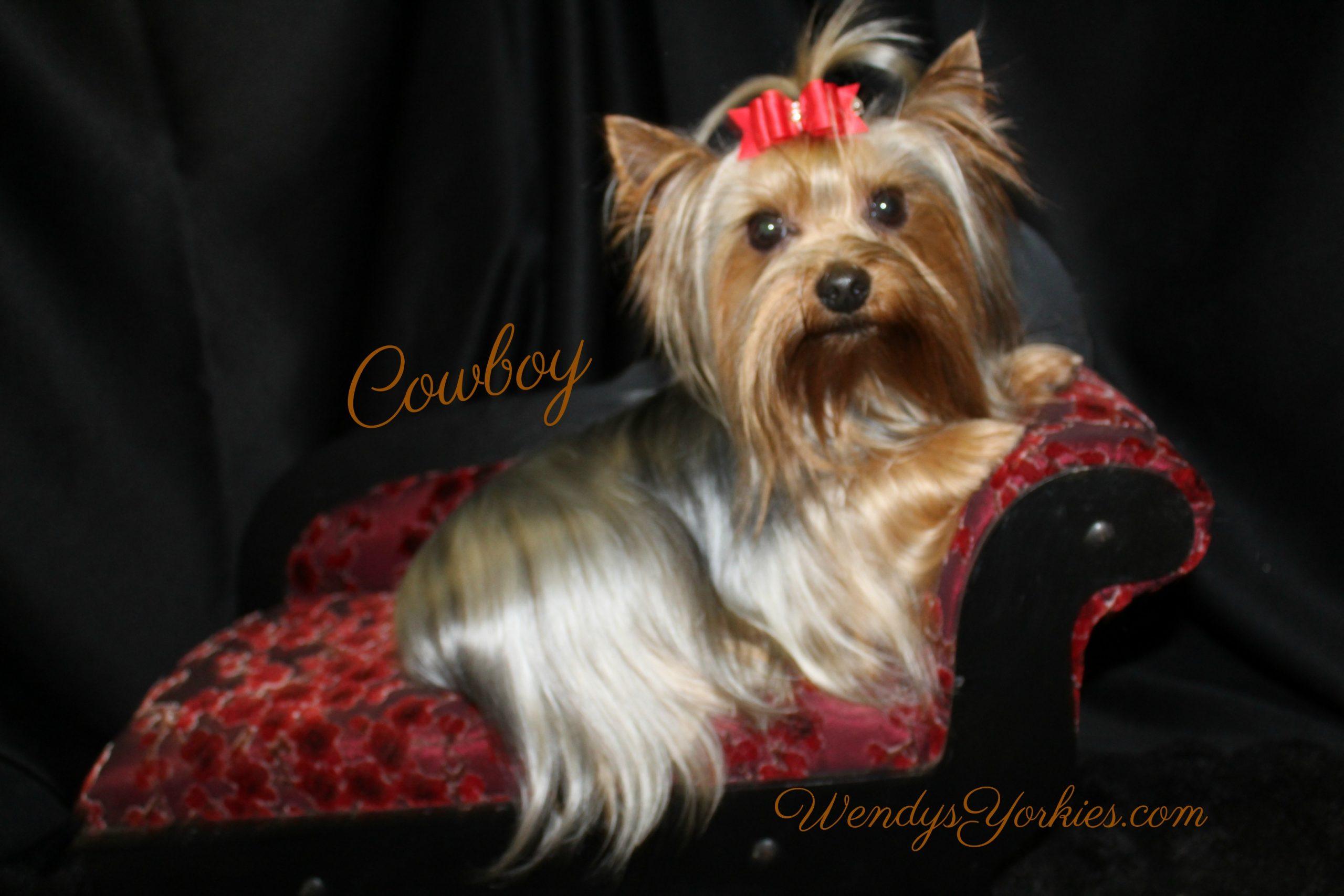 Tiny Male Yorkie, Cowboy, WendysYorkies.com