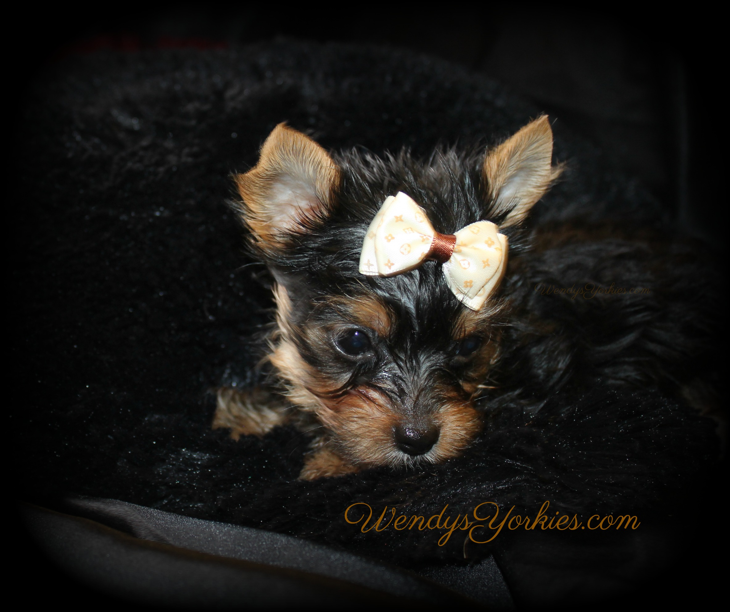 Yorkie puppies for sale in Texas, Anna m2, WendysYorkies.com