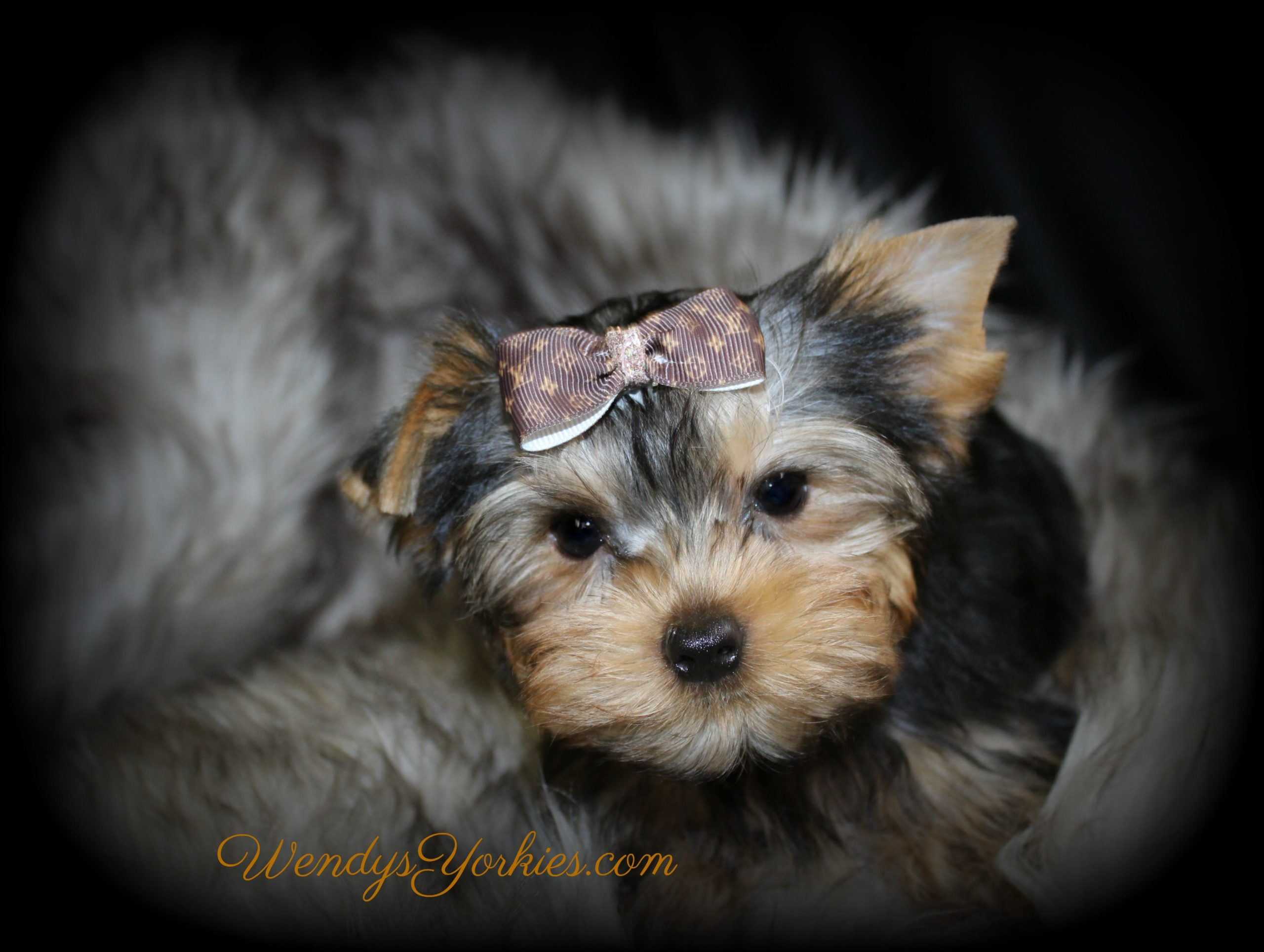 Yorkie puppies for sale in Texas, Ritz, WendysYorkies.com