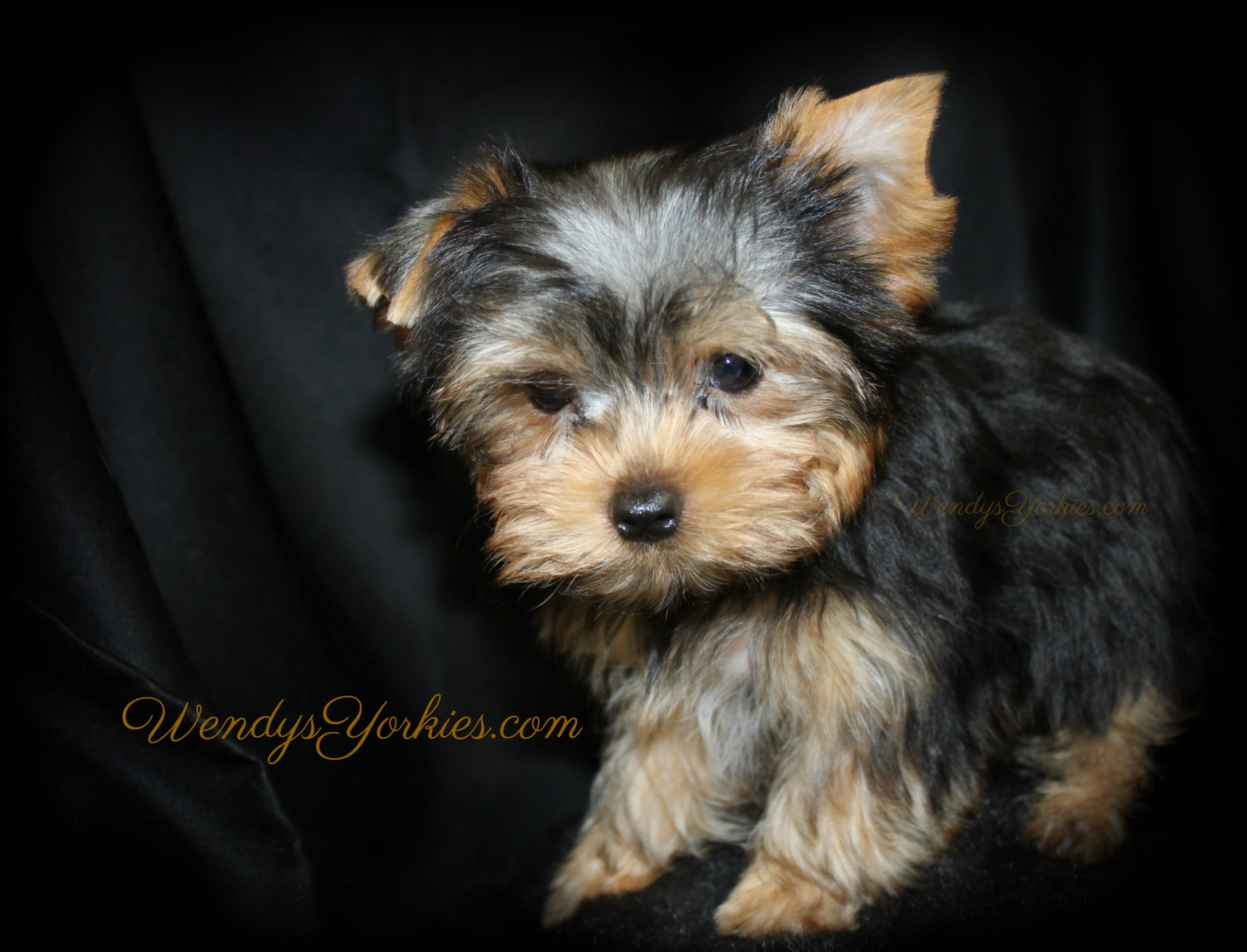 Yorkie puppy breeder, Ritz, WendysYorkies.com