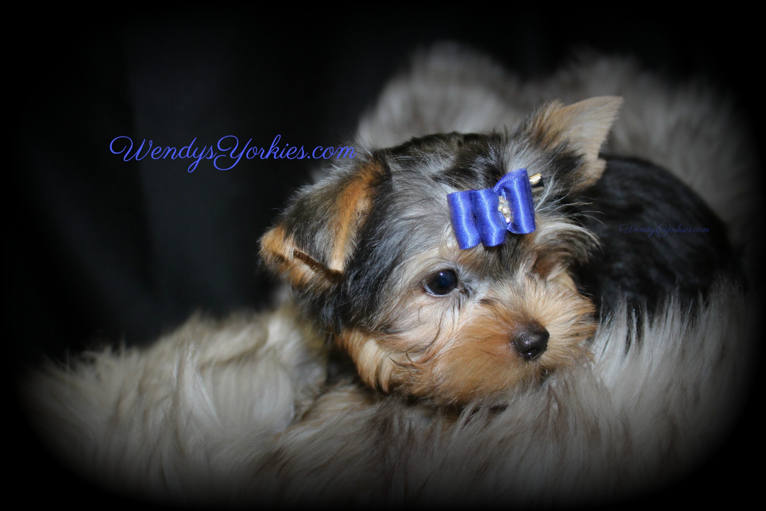 Yorkie puppy profile, Ritz, WendysYorkies.com