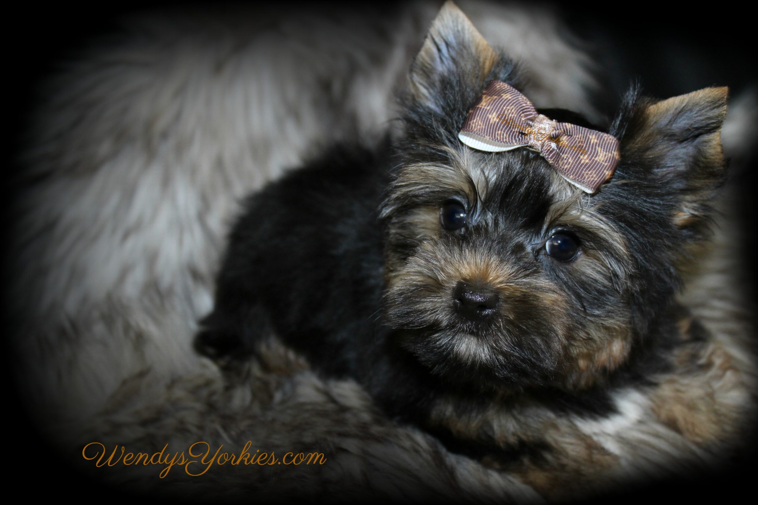 Yorkies for sale in Texas, JAck, WendysYorkies.com