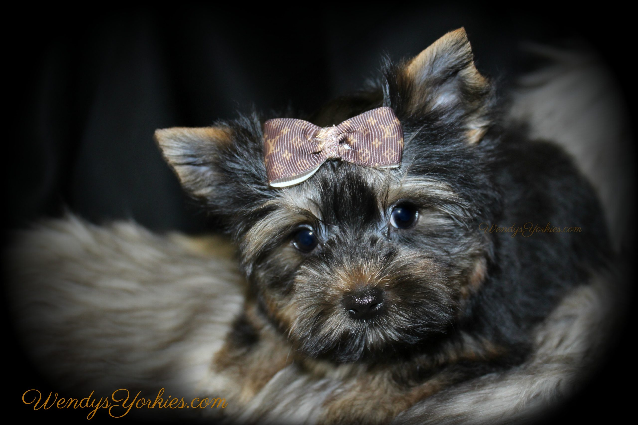 Yorkshire Terrier Breeder in Texas, JAck,WendysYorkies.com
