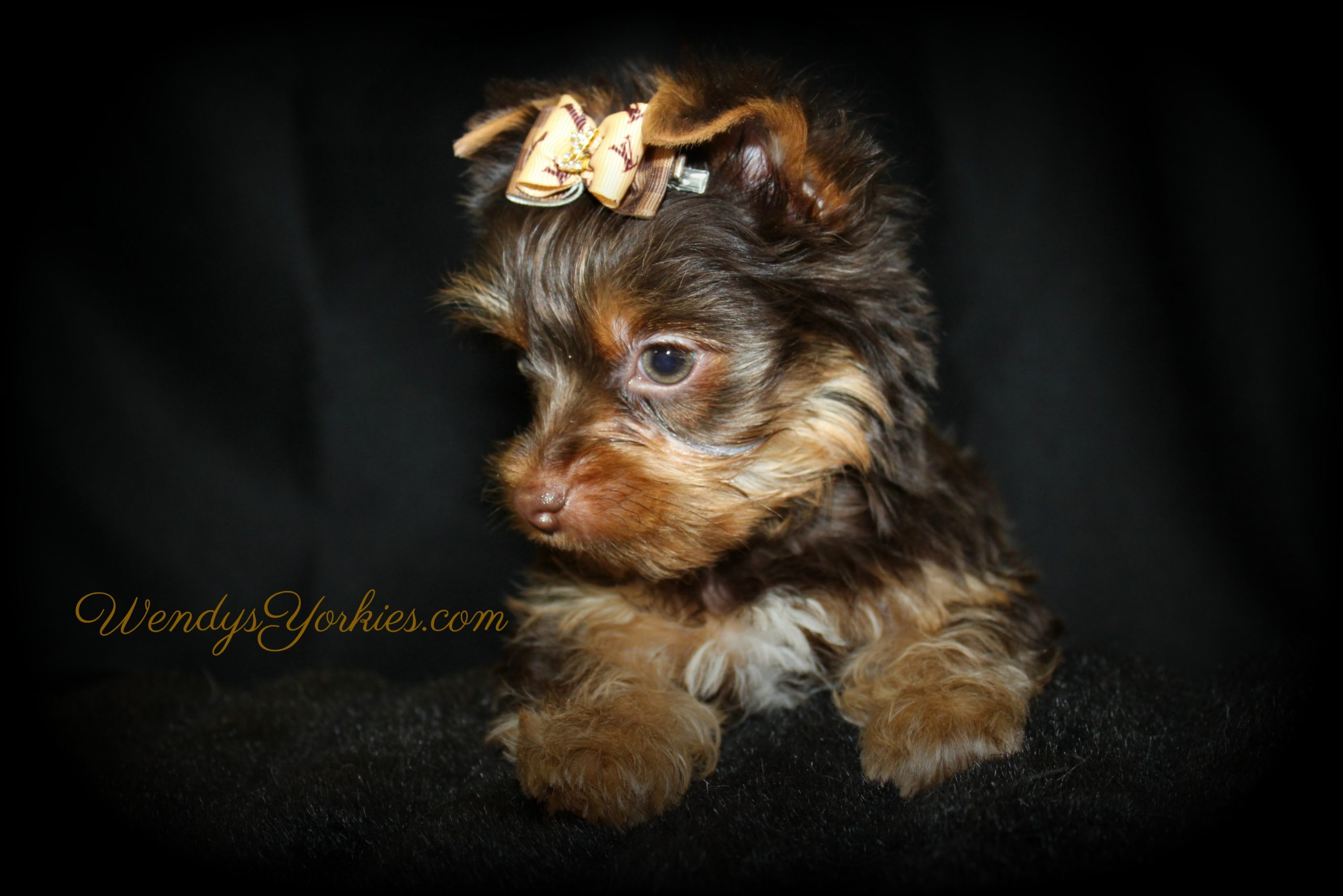 Chocolate YOrkie puppy for sale, Harley cm1,WendysYorkies.com