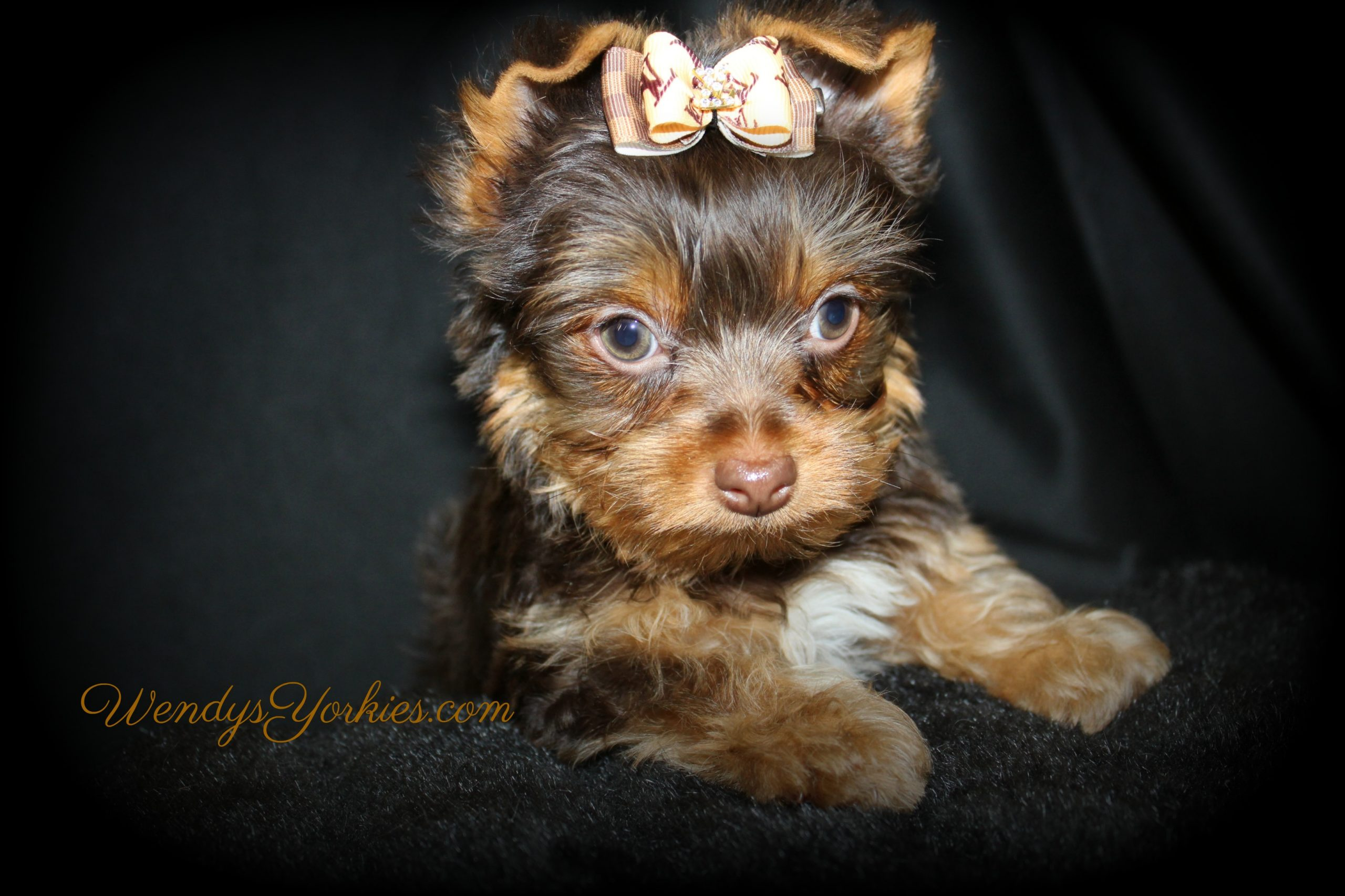 Chocolate Yorki puppies for sale in Texas, Harley cm1,WendysYorkies.com