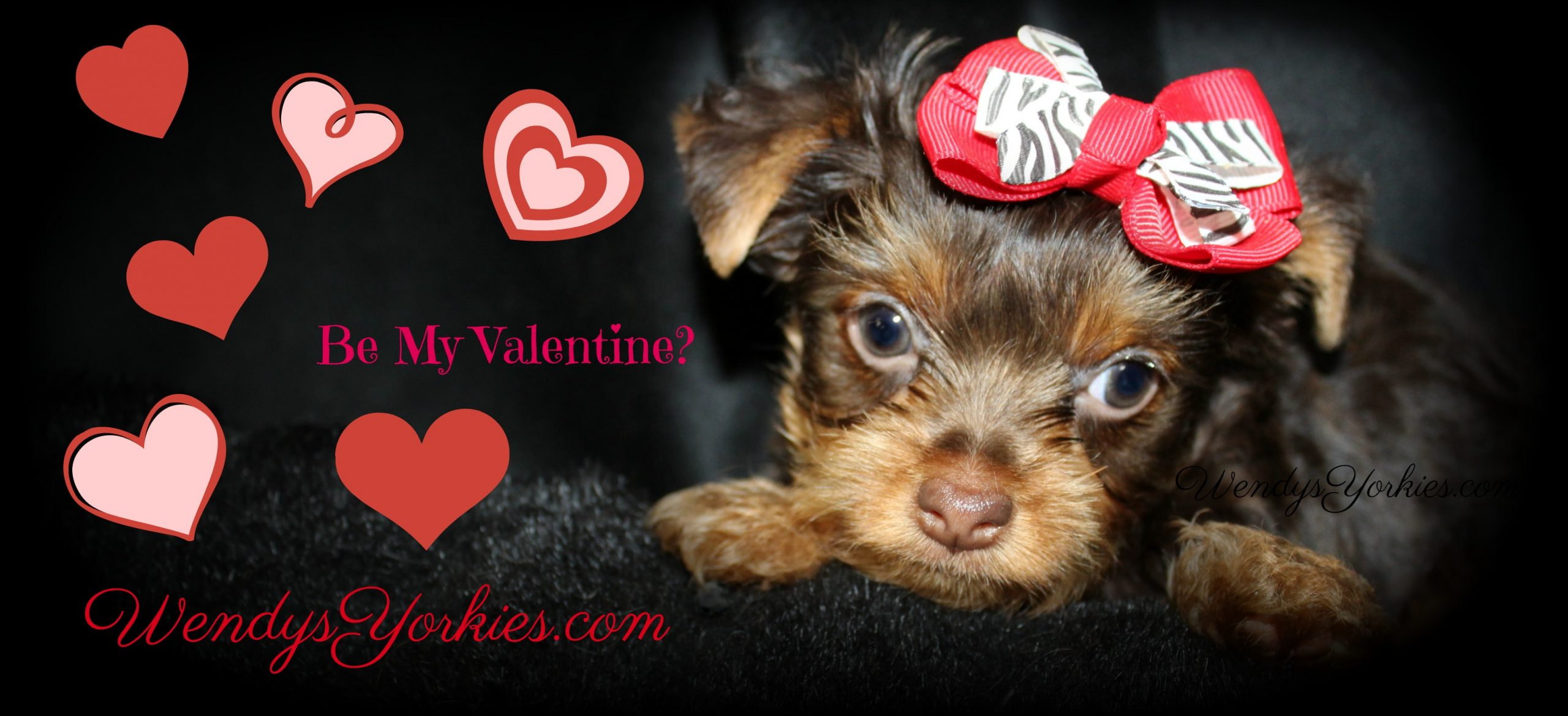 Chocolate Yorkie Puppy for sale in Texas, Kimber, WendysYorkies.com