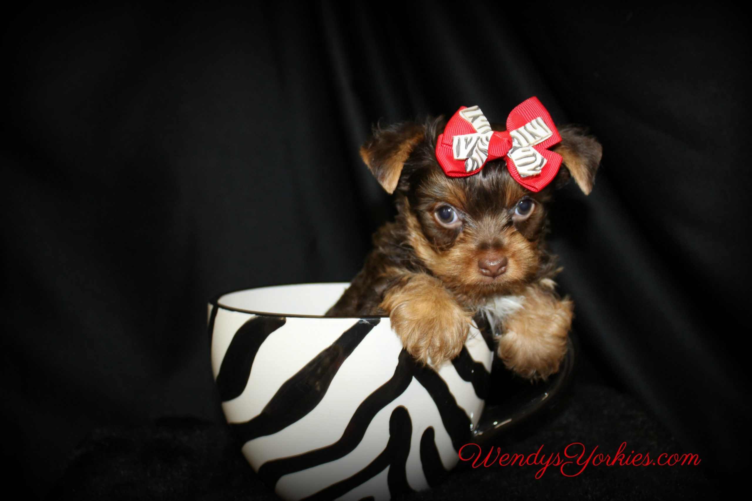 Chocolate Yorkie puppy for sale, Kimber, WendysYorkies.com
