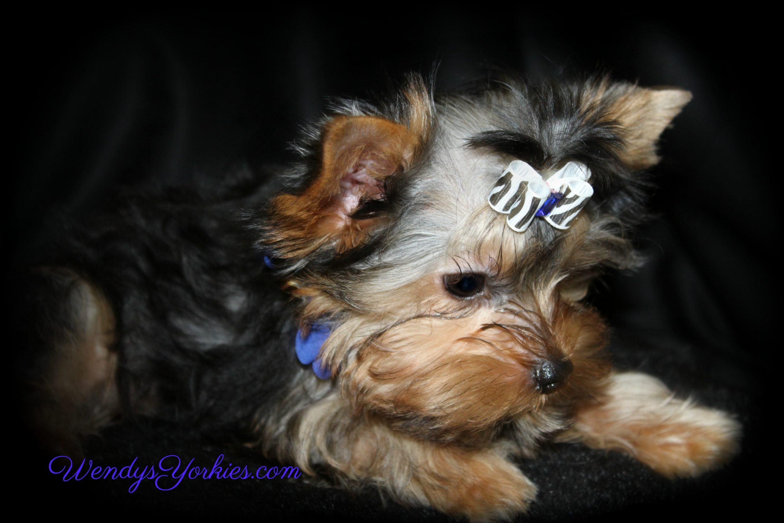 Cute Male Yorkie puppy for sale in Texas, WendysYorkies.com, Ritz