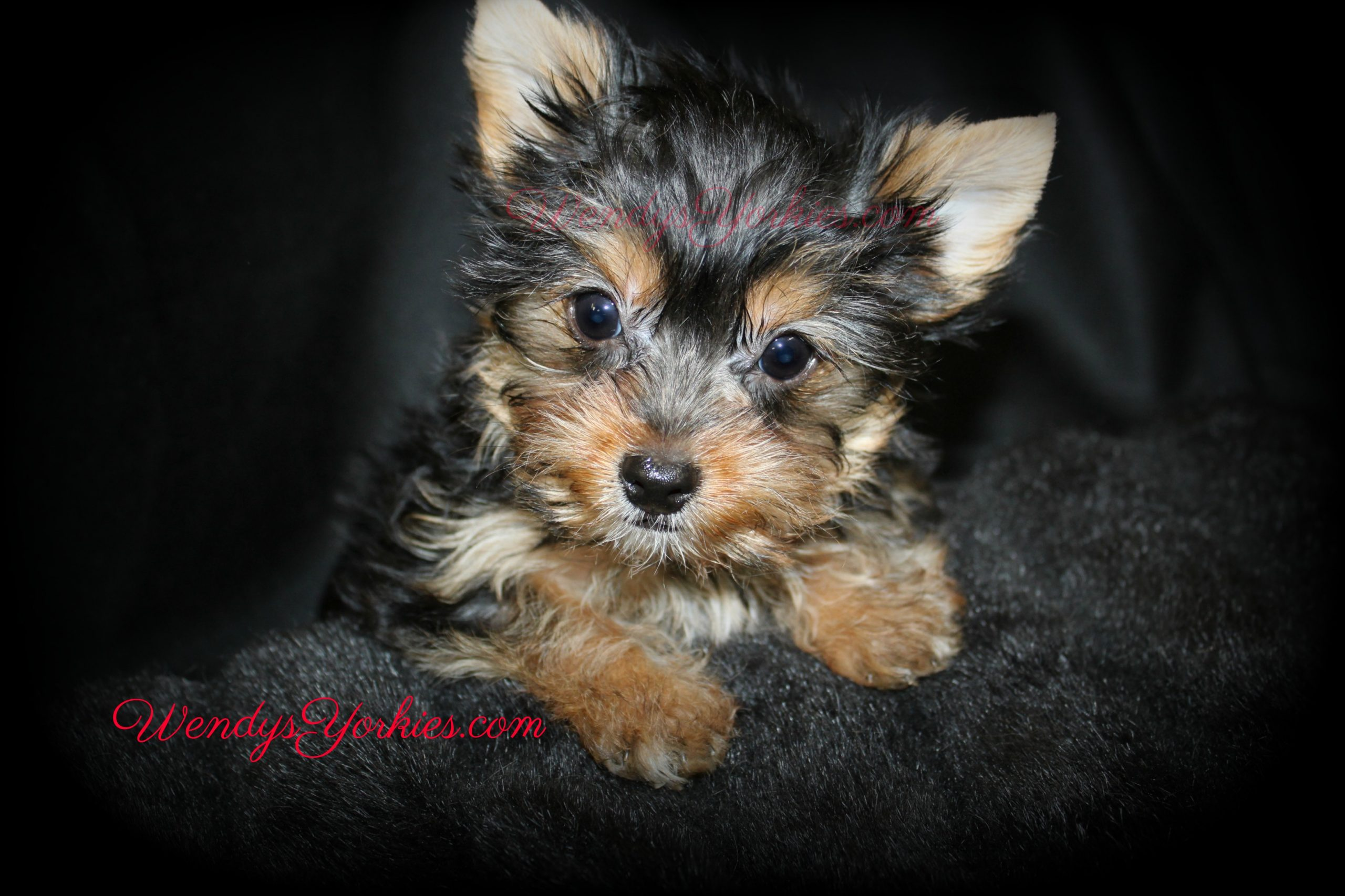 Cute Yorkie puppy, Dutch, WendysYorkies.com
