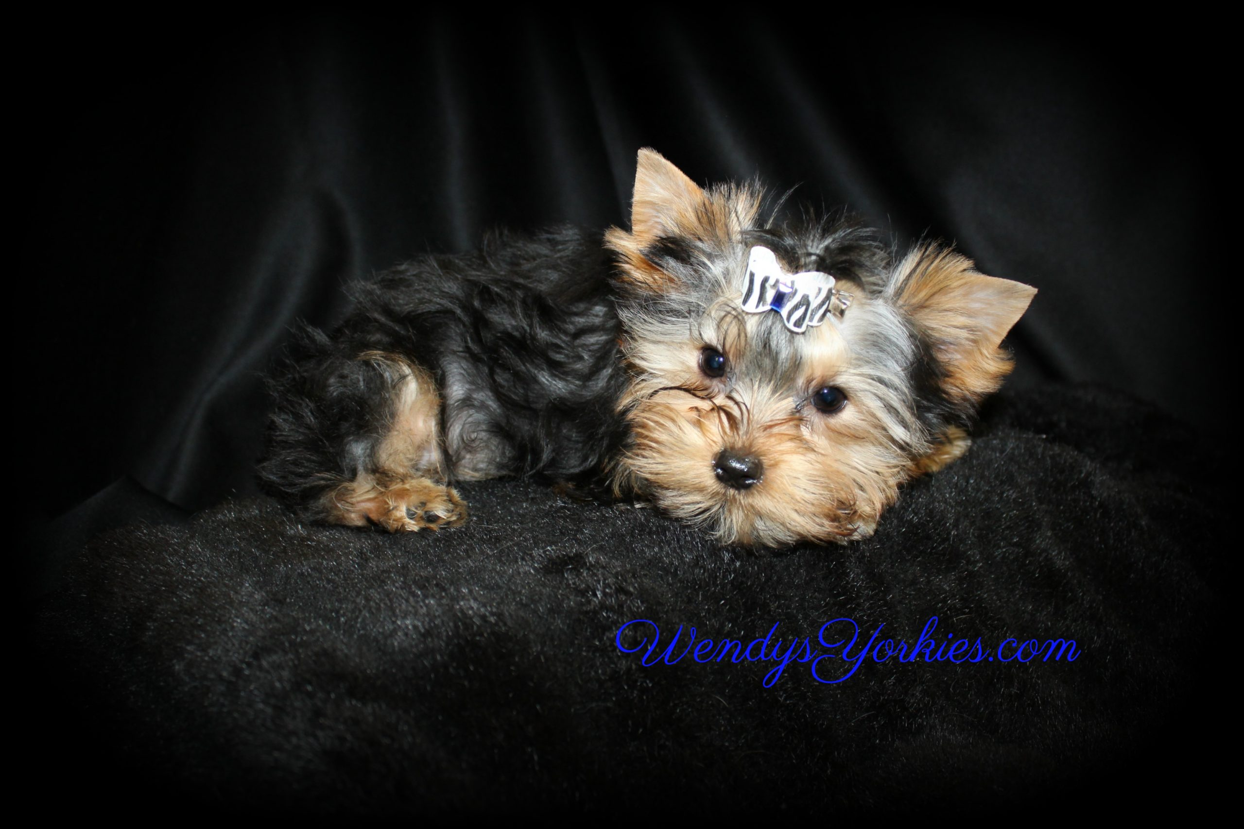 Male YOrkie puppy for sale Ritz, WendysYorkies.com