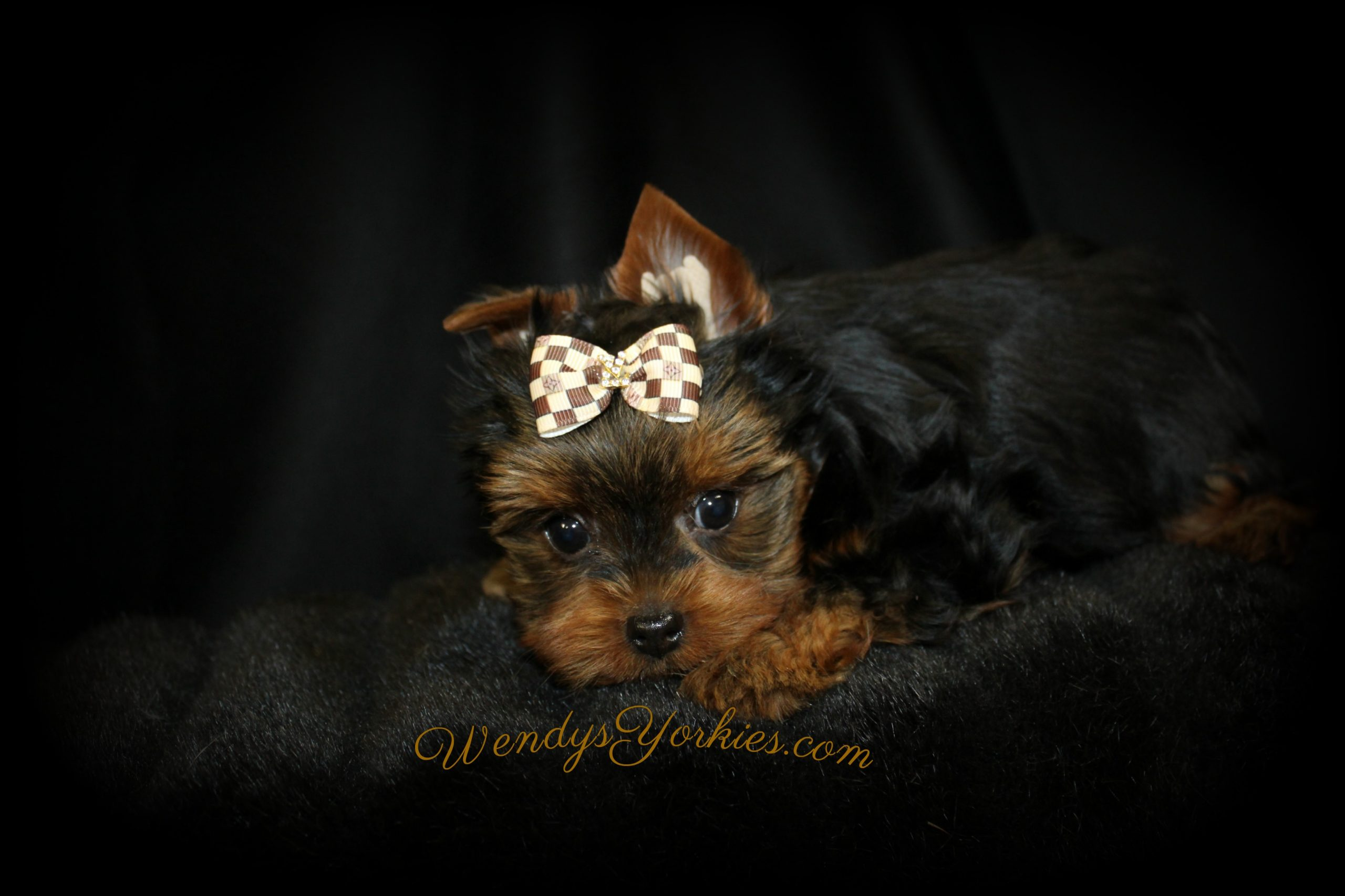 Male Yorkie puppies for sale, Harley tm2,WendysYorkies.com