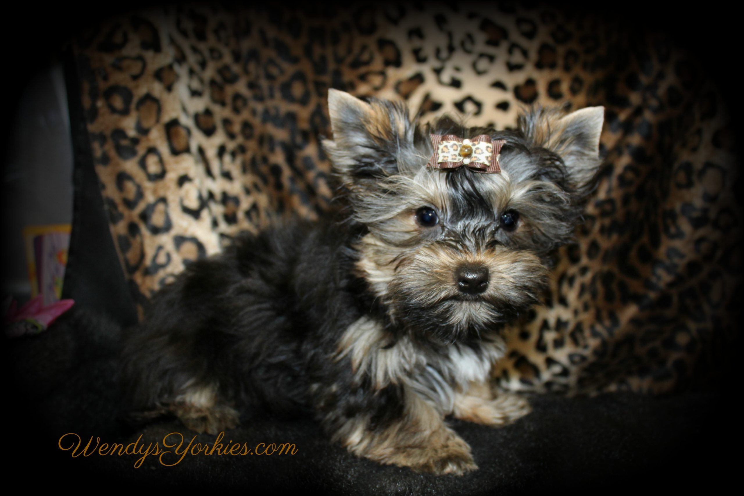 Male Yorkie puppy, Jack, , WendysYorkies.com