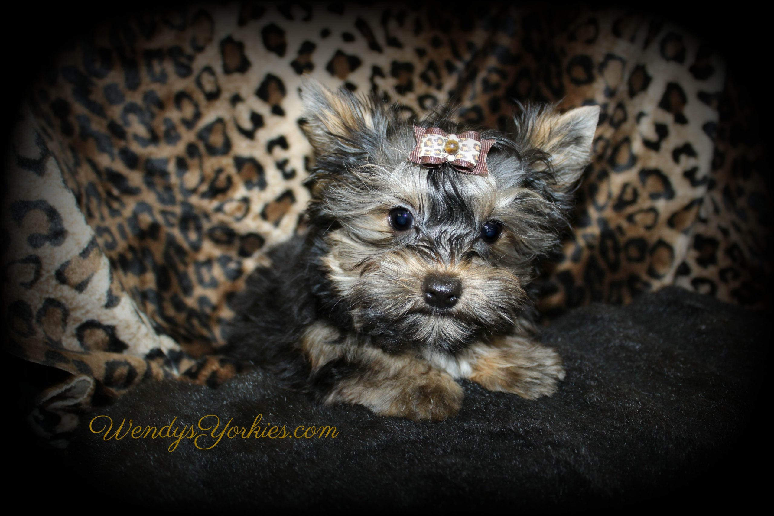 , Male Yorkie puppy for sale, Jack, WendysYorkies.com