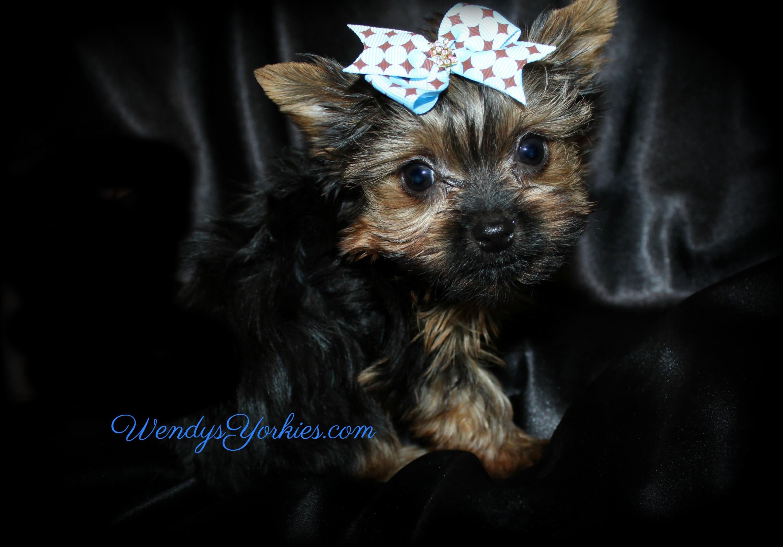 Micro Male Yorkie puppy, Chloe m1, WendysYorkies.com