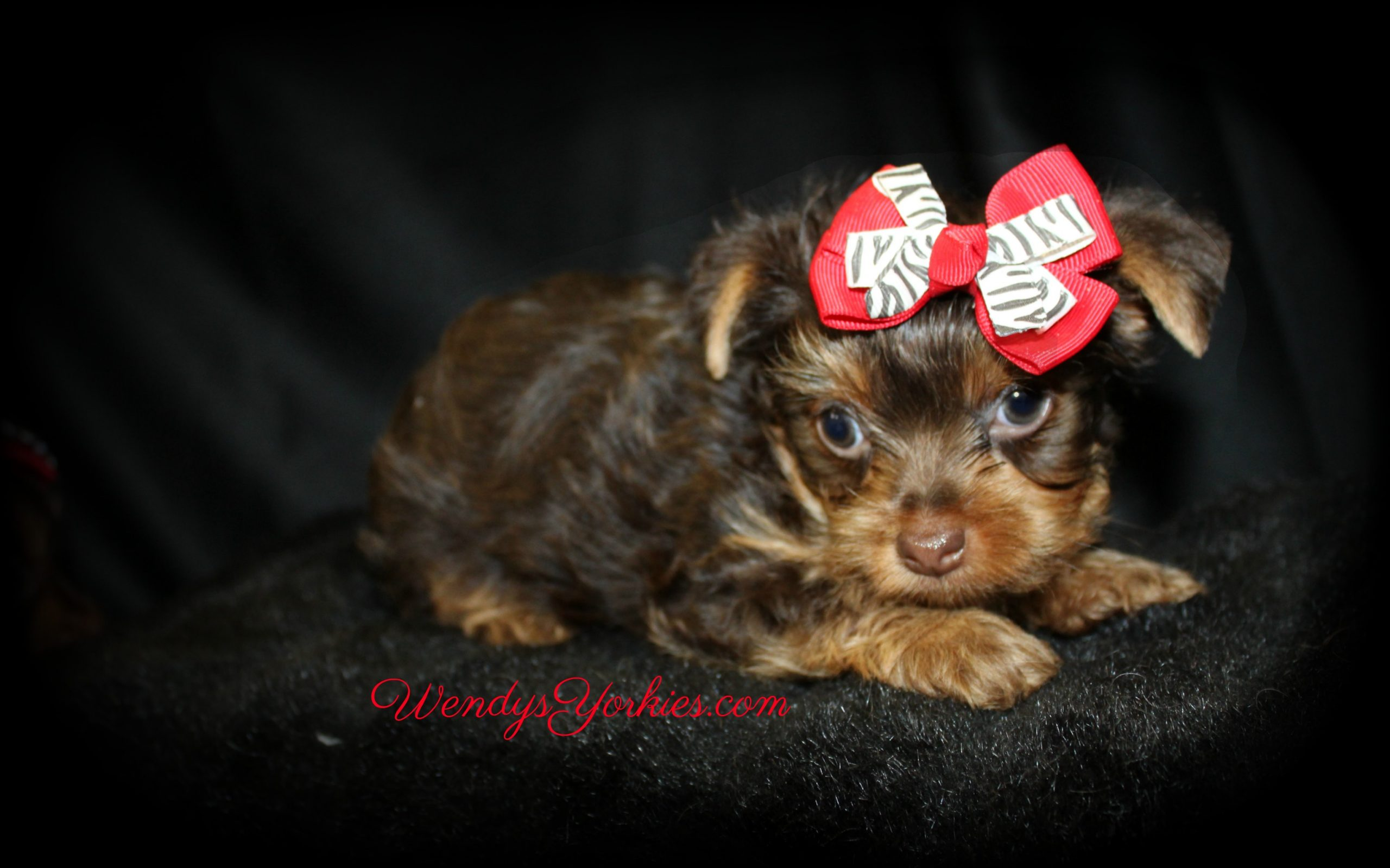 Teacup Chocolate Yorkie puppy for sale in Texas, Yorkie puppies, Kimber, Chocolate Yorkie puppy for sale, Kimber, WendysYorkies.com