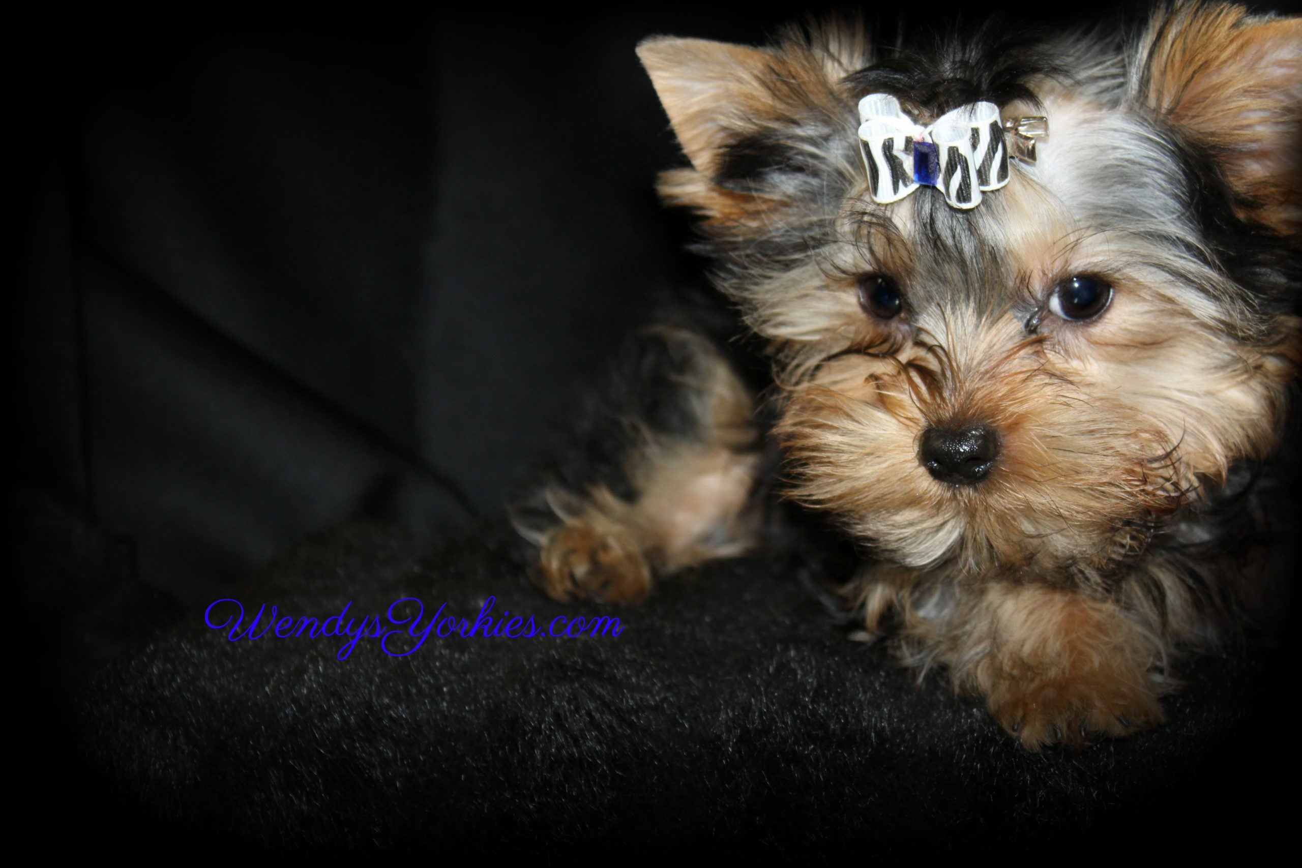 Teacup Male yorkie puppy for sale, WendysYorkies.com
