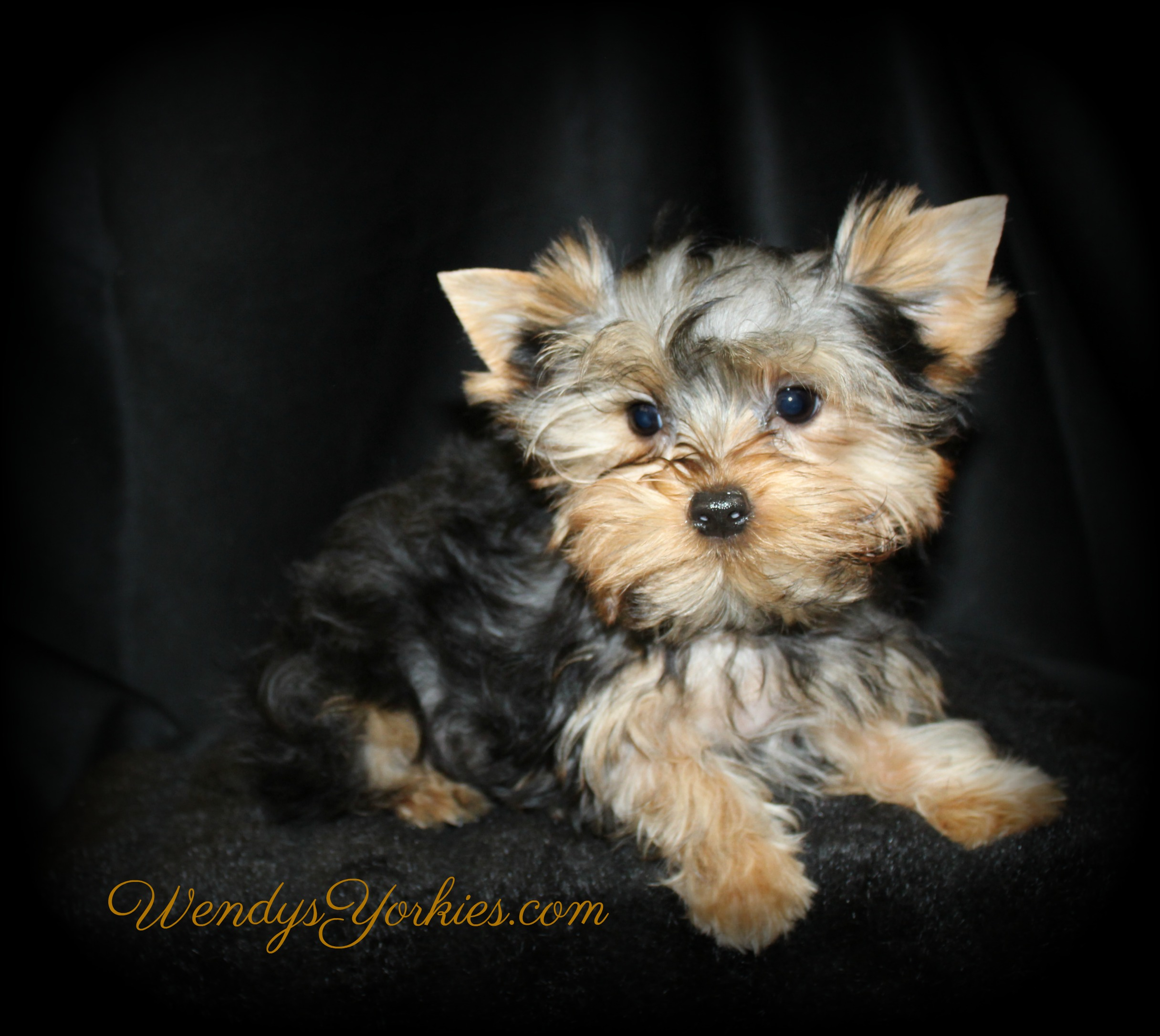 Teacup Yorkie puppy for sale, Ritz, WendysYorkies.com