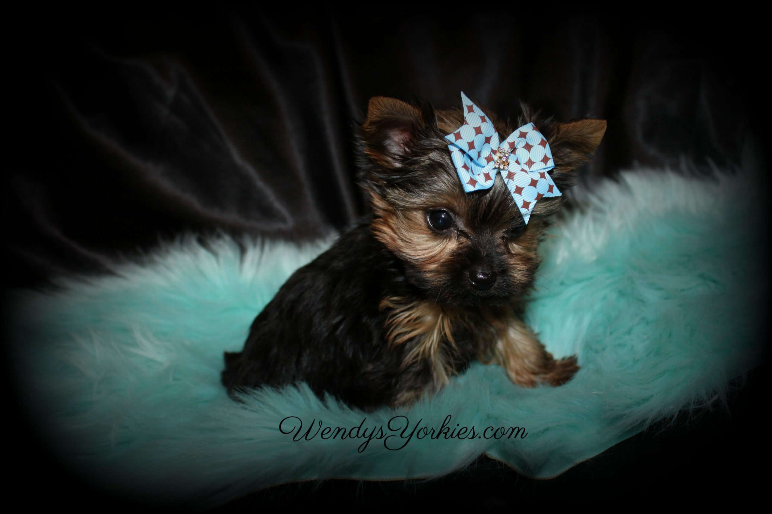 Teenie Male Yorkie puppy, Chloe m1, WendysYorkies.com
