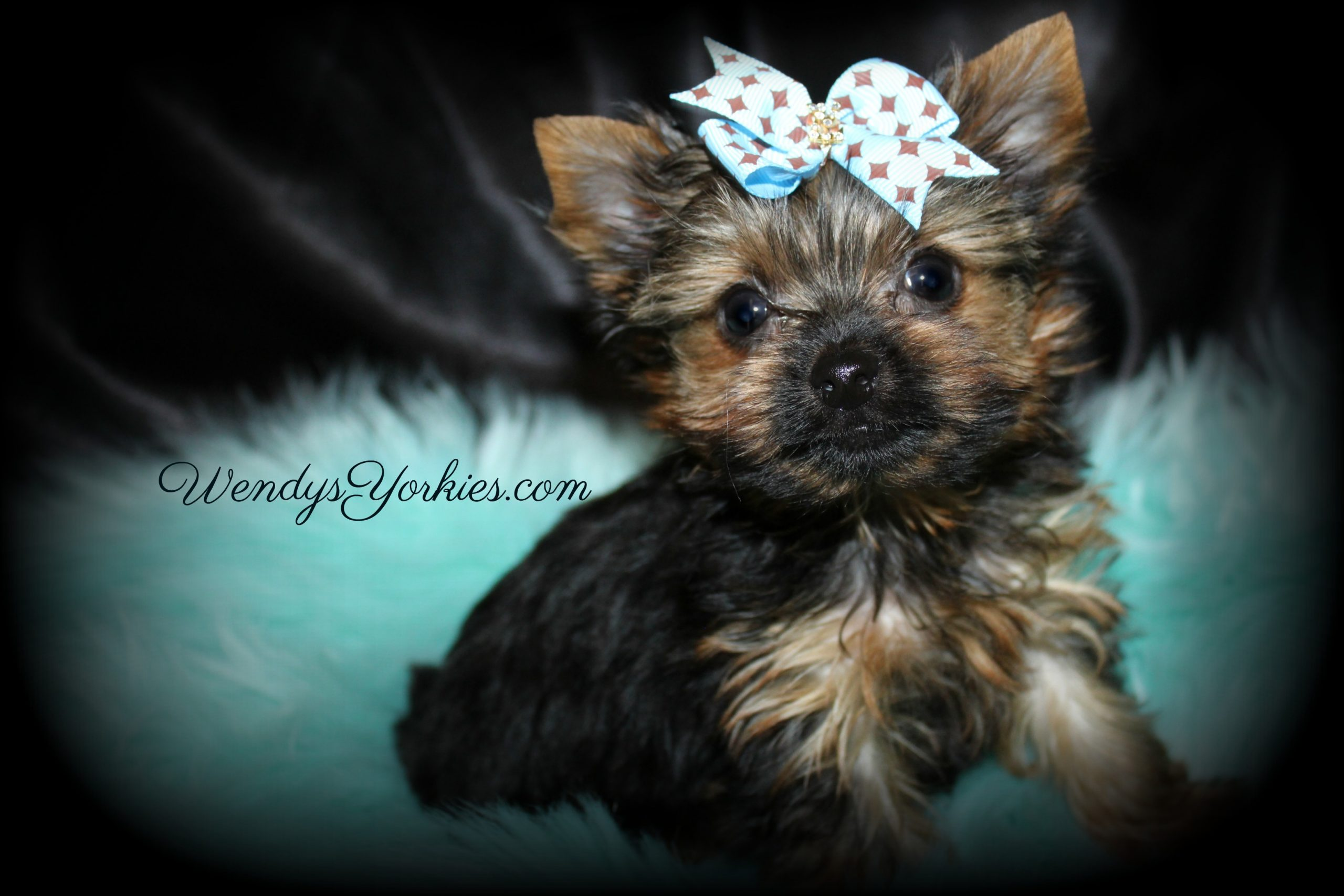 Tiny Teacup Male Yorkie puppy for sale in Texas, Chloe m1, WendysYorkies.com