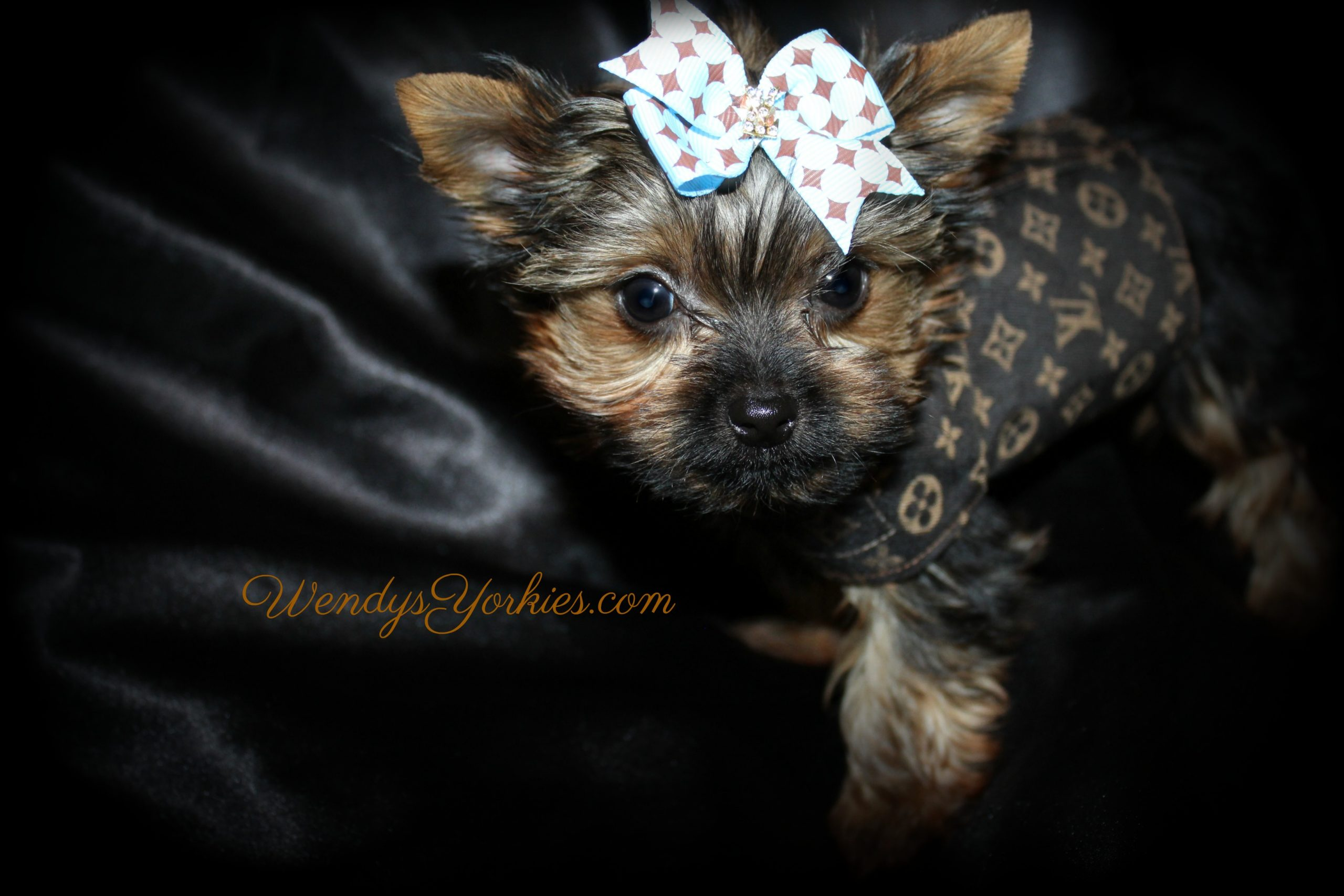 Tiny Yorkie puppy for sale in Texas, Chloe m1, WendysYorkies.com