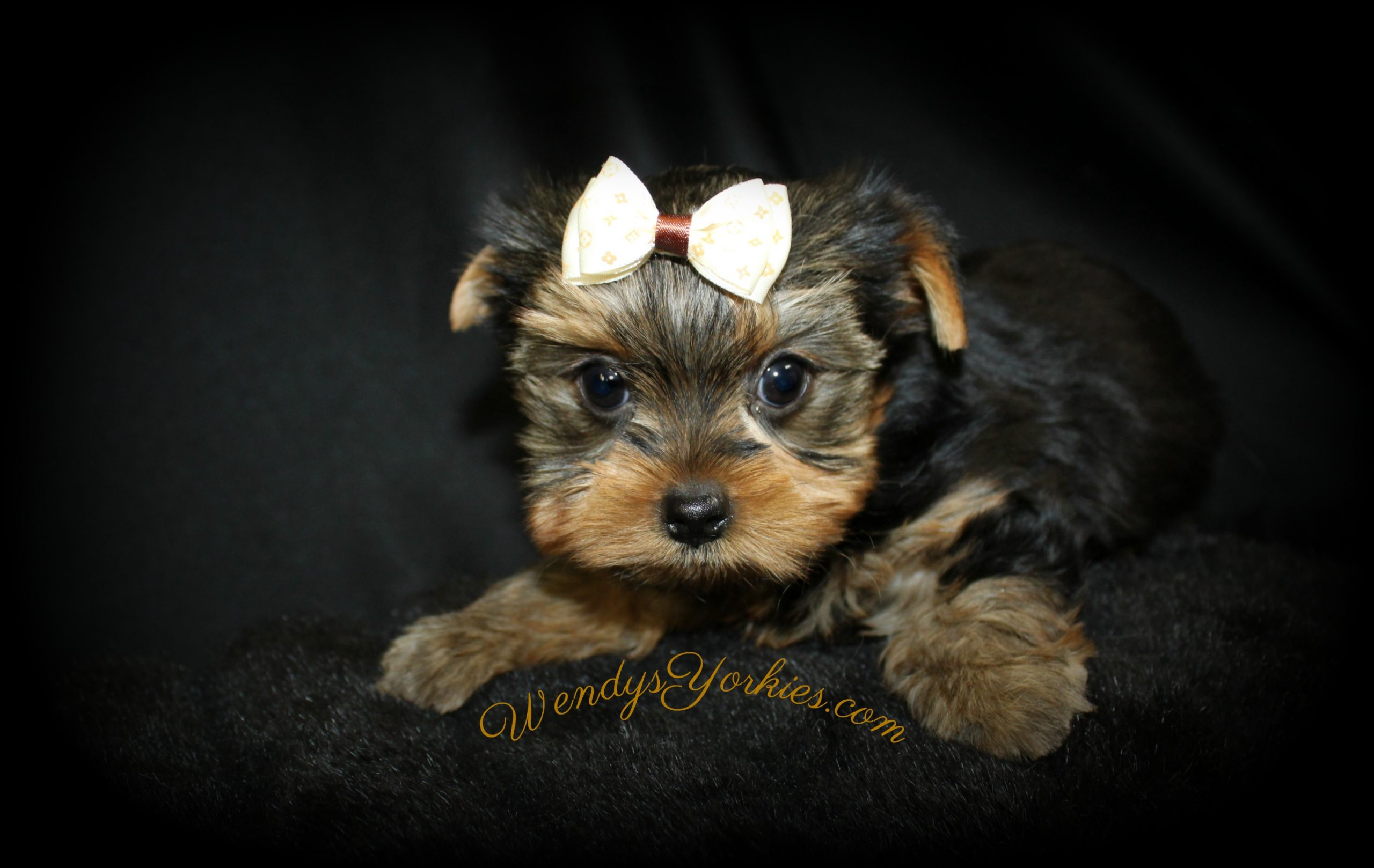 Yorkie puppies for sale in Texas, Harley tm1, WendysYorkies.com
