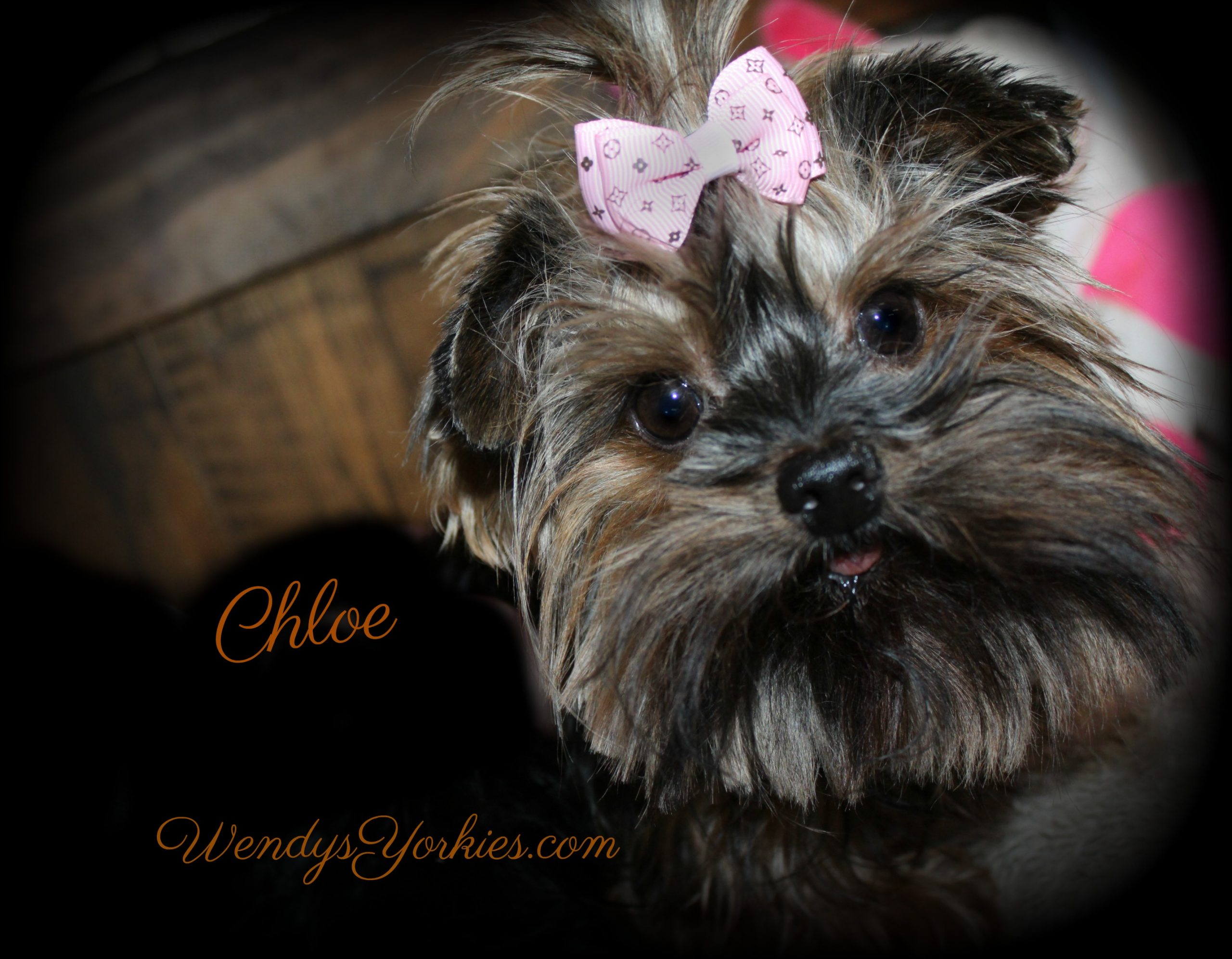 Yorkie puppy Breeder in Texas, Chloe, WendysYorkies.com