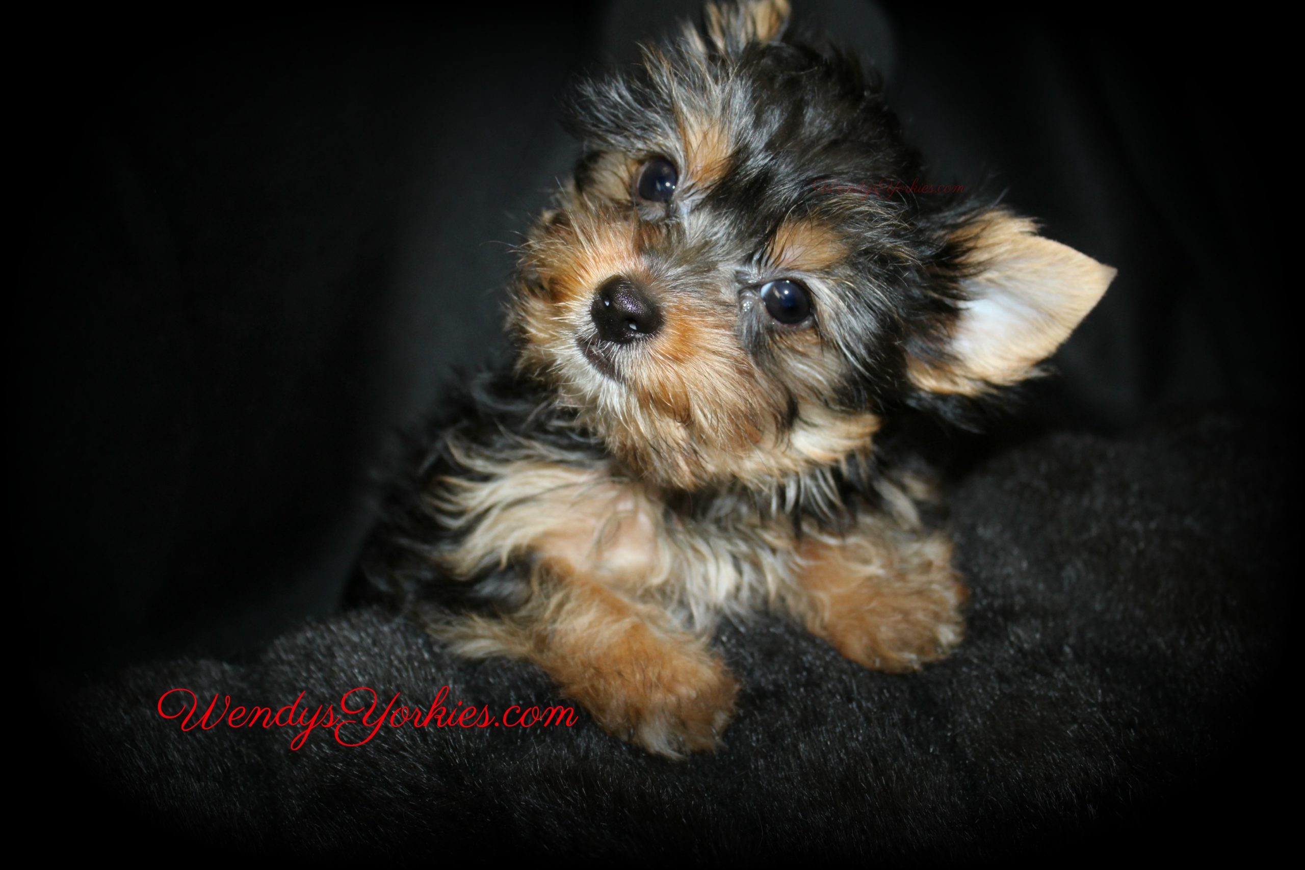Yorkie puppy for sale, Dutch, WendysYorkies.com