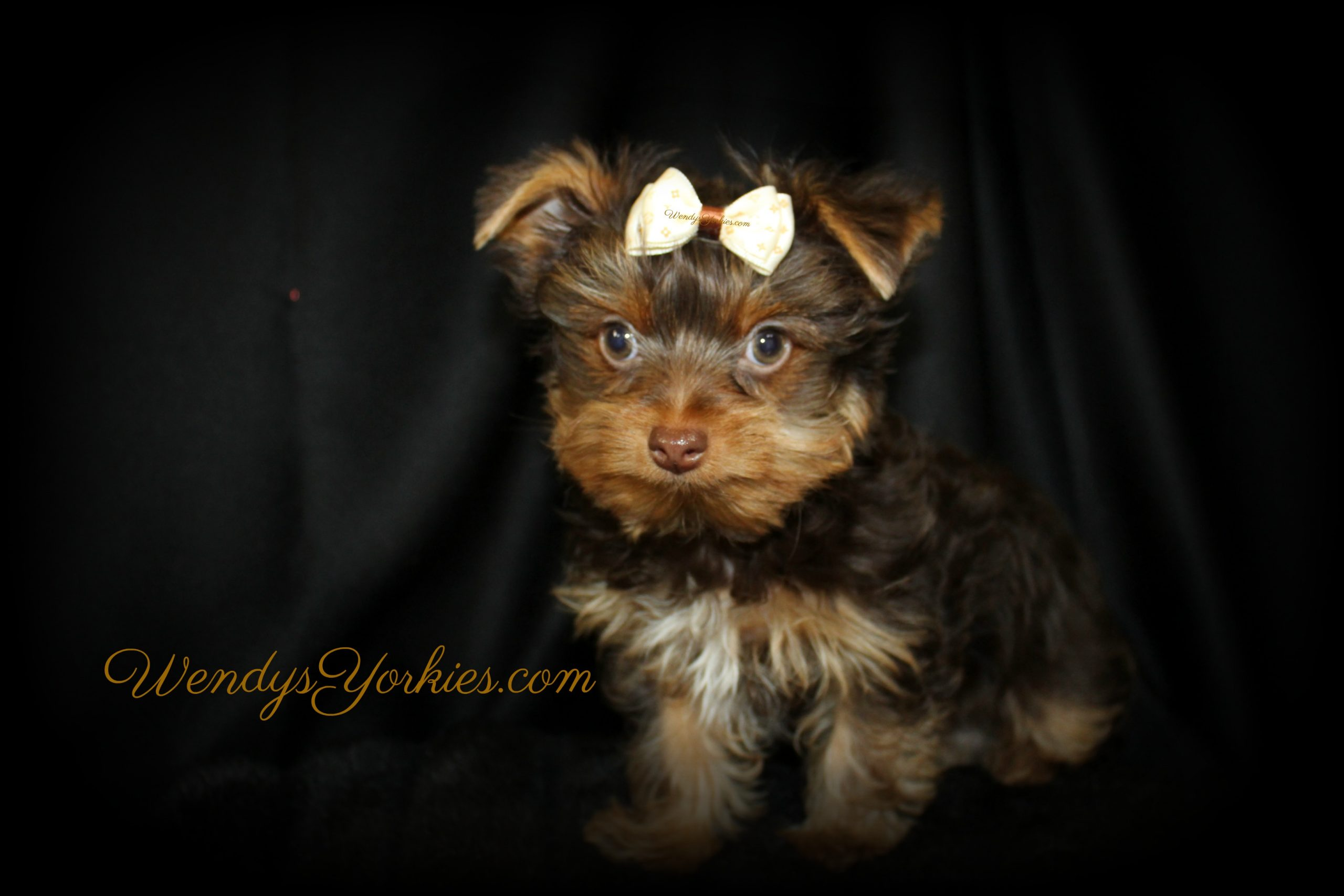 Chocolate Yorkie puppy for sale in Texas, WendysYorkies.com