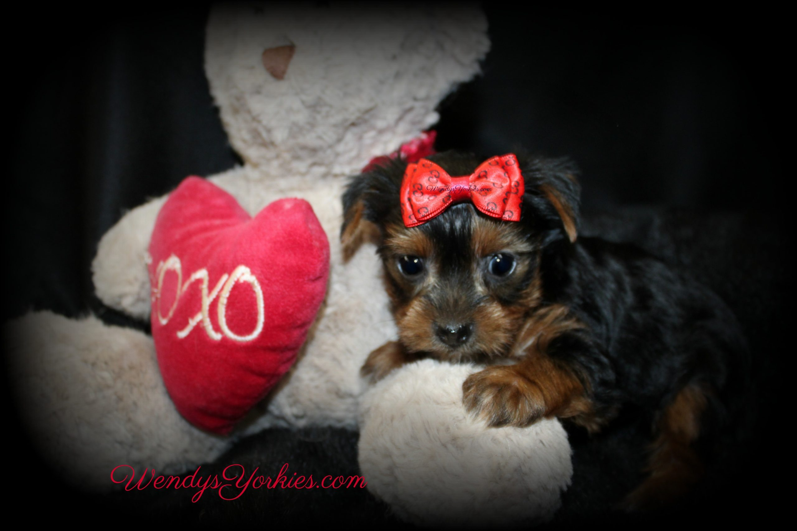 Cute Male Yorkie puppy for sale in Texas, WendysYorkies.com